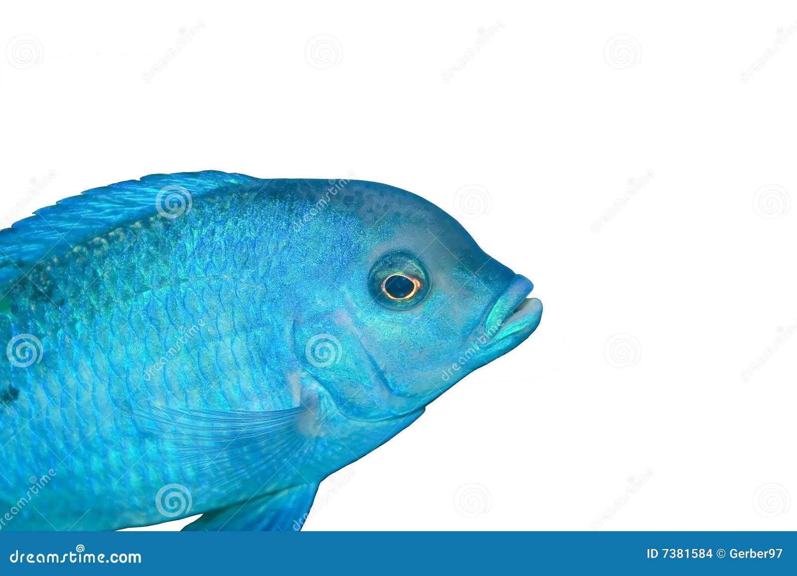 голубые рыбы