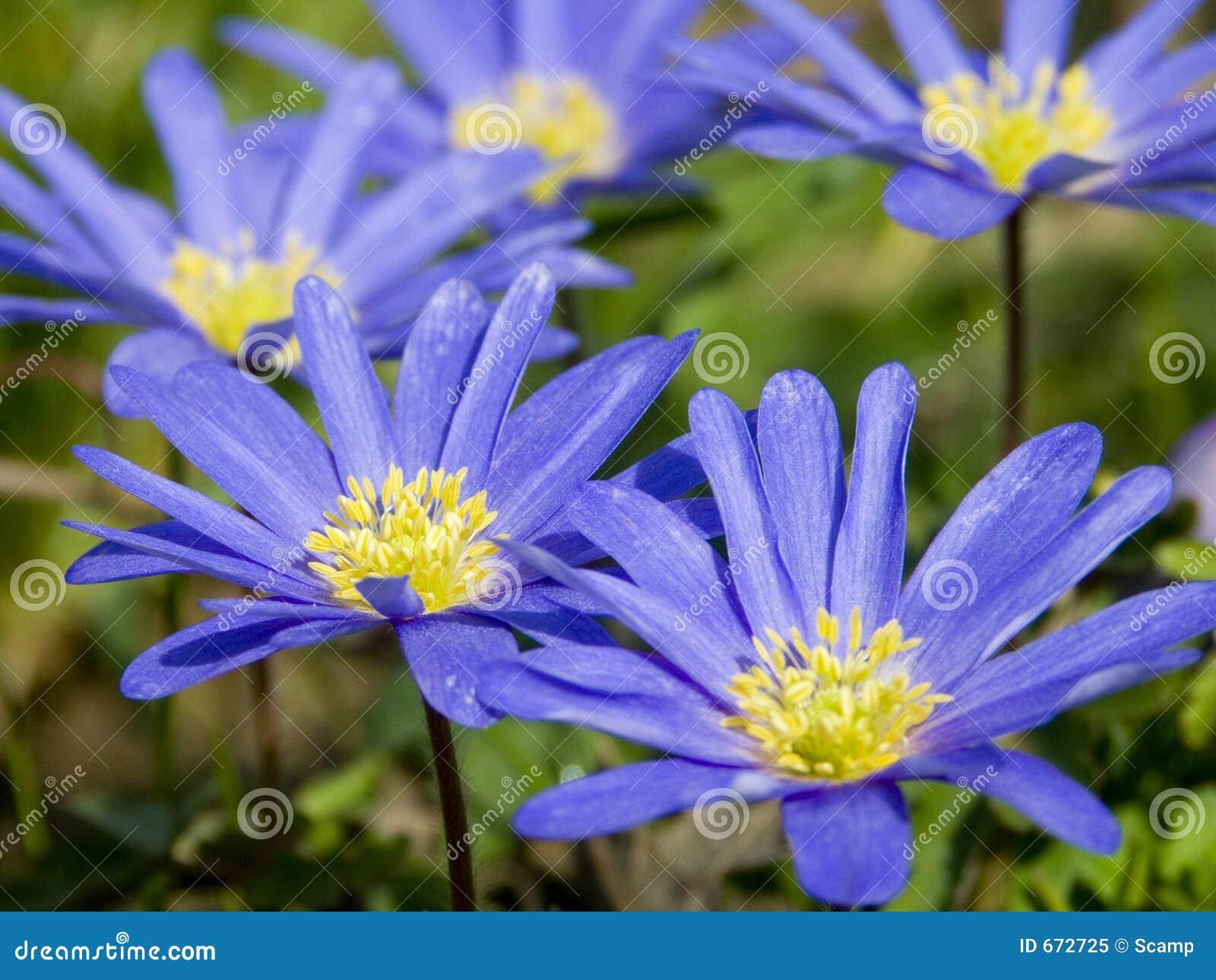 голубые цветки круга