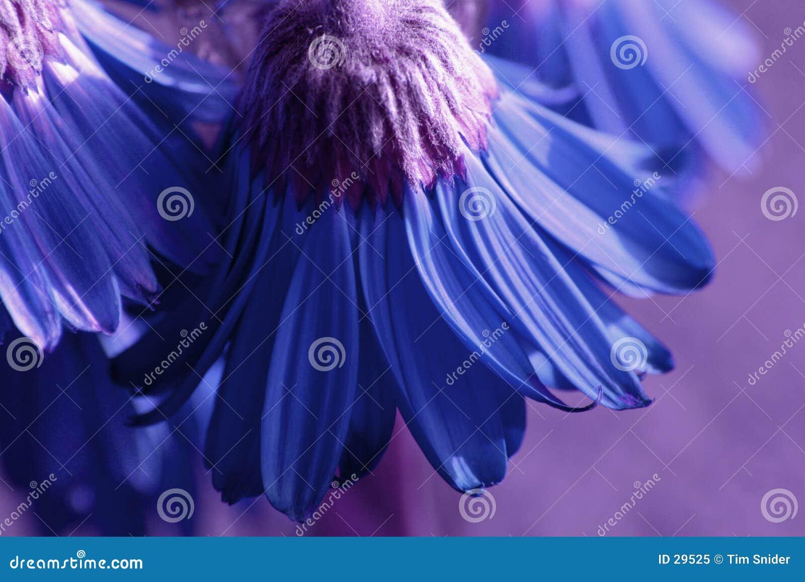 голубые цветки