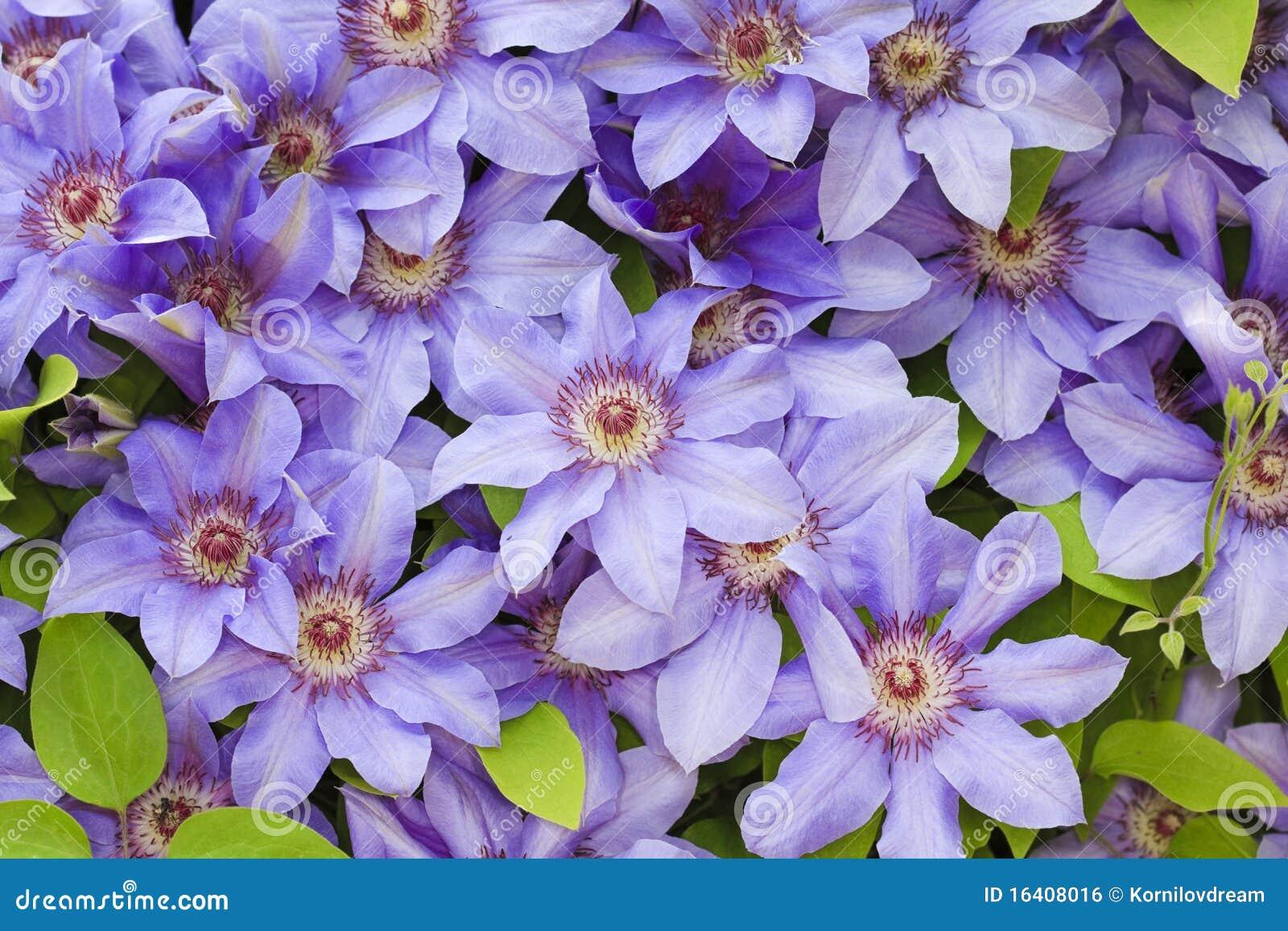 голубые цветки clematis
