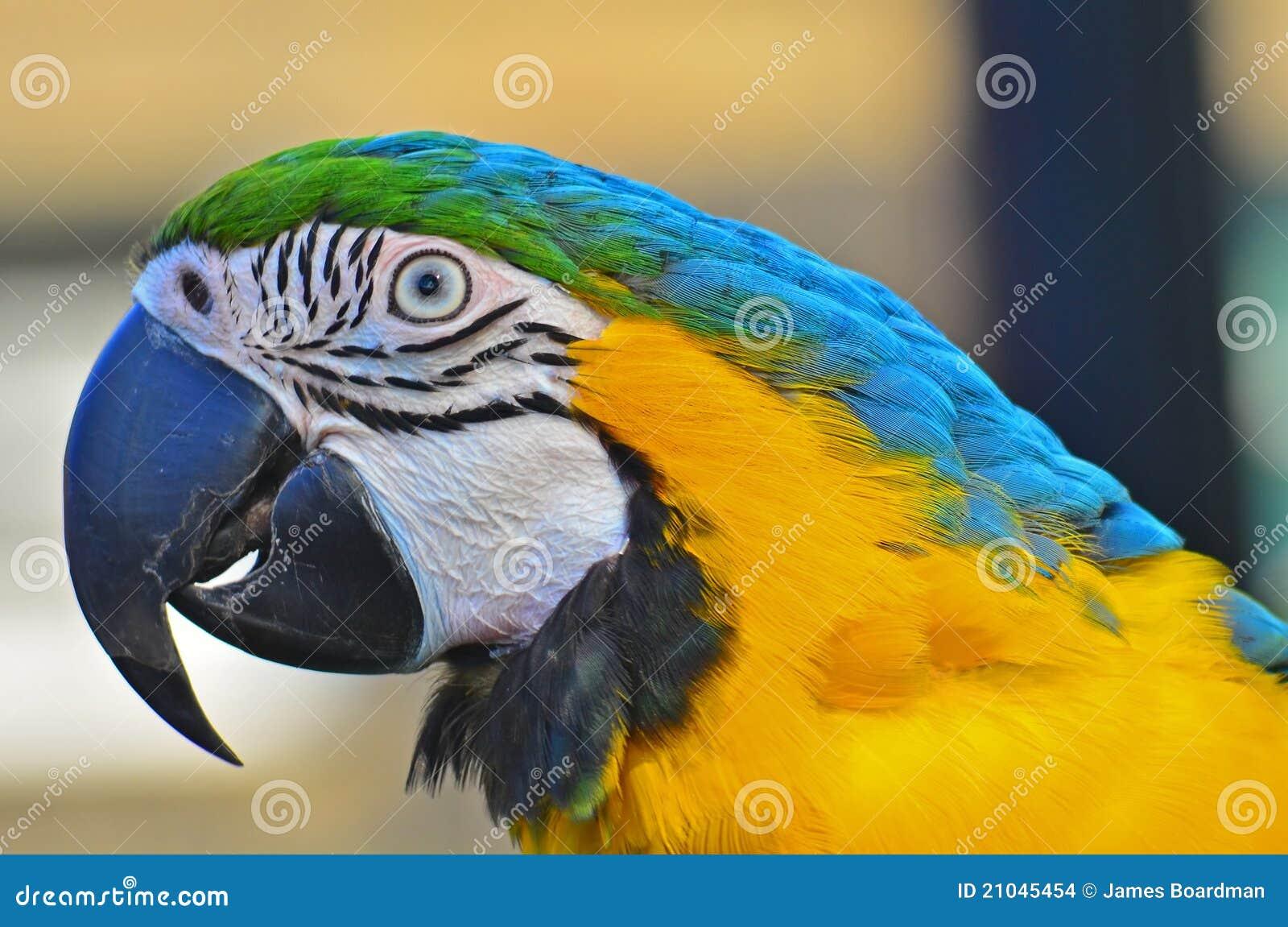 голубым головным желтый цвет снятый macaw