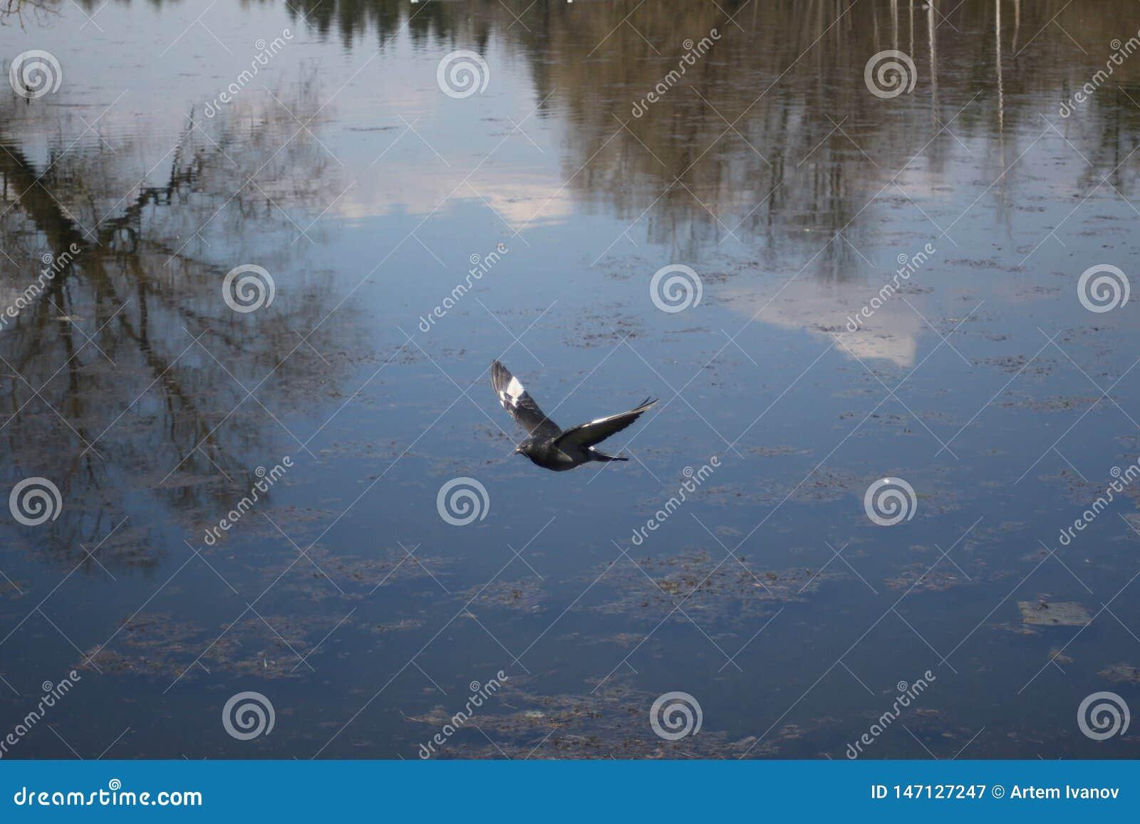 Голубь в полете против полно отраженное в небе воды озера