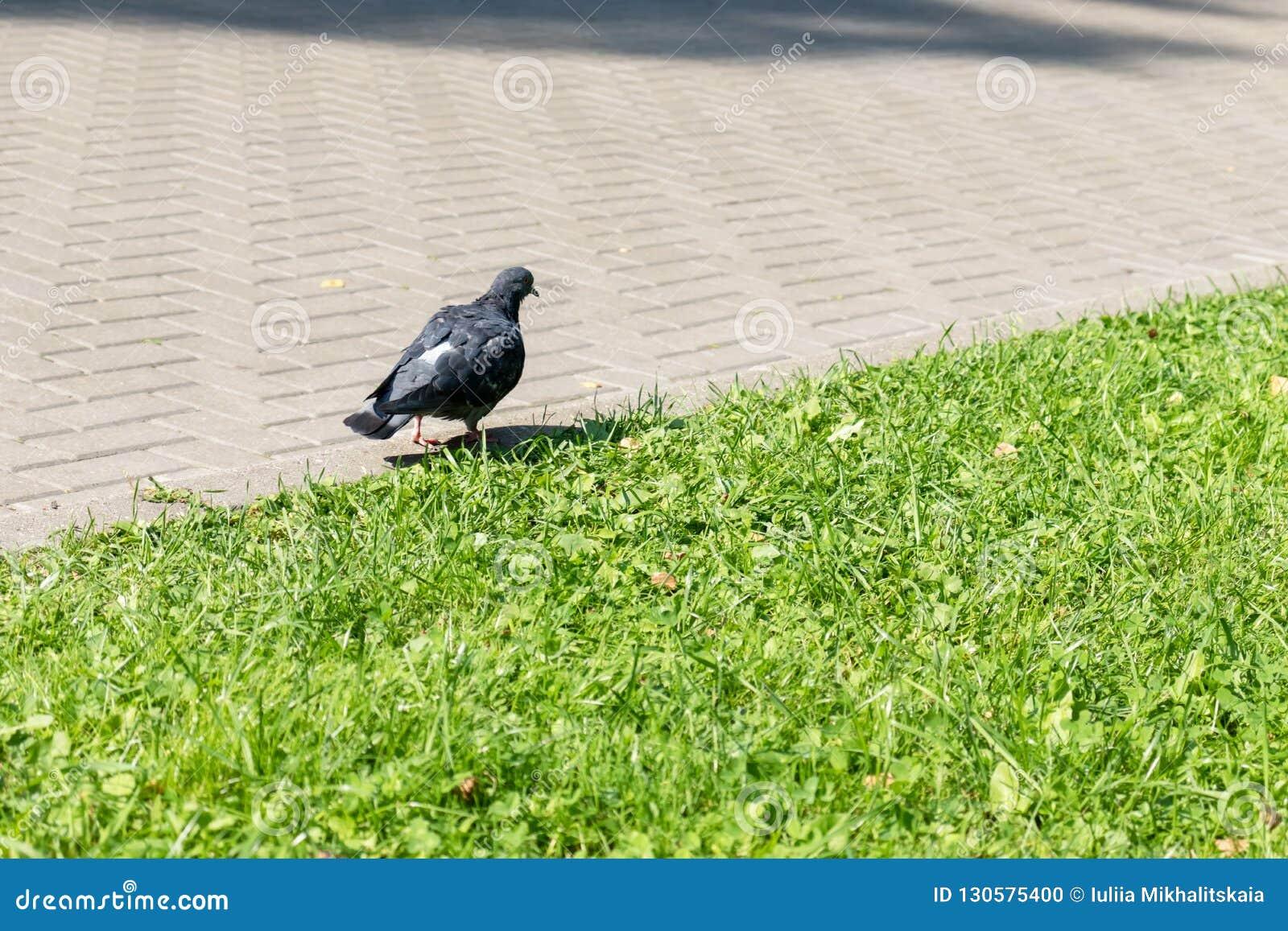 Голубь идет вдоль пути около лужайки в парке