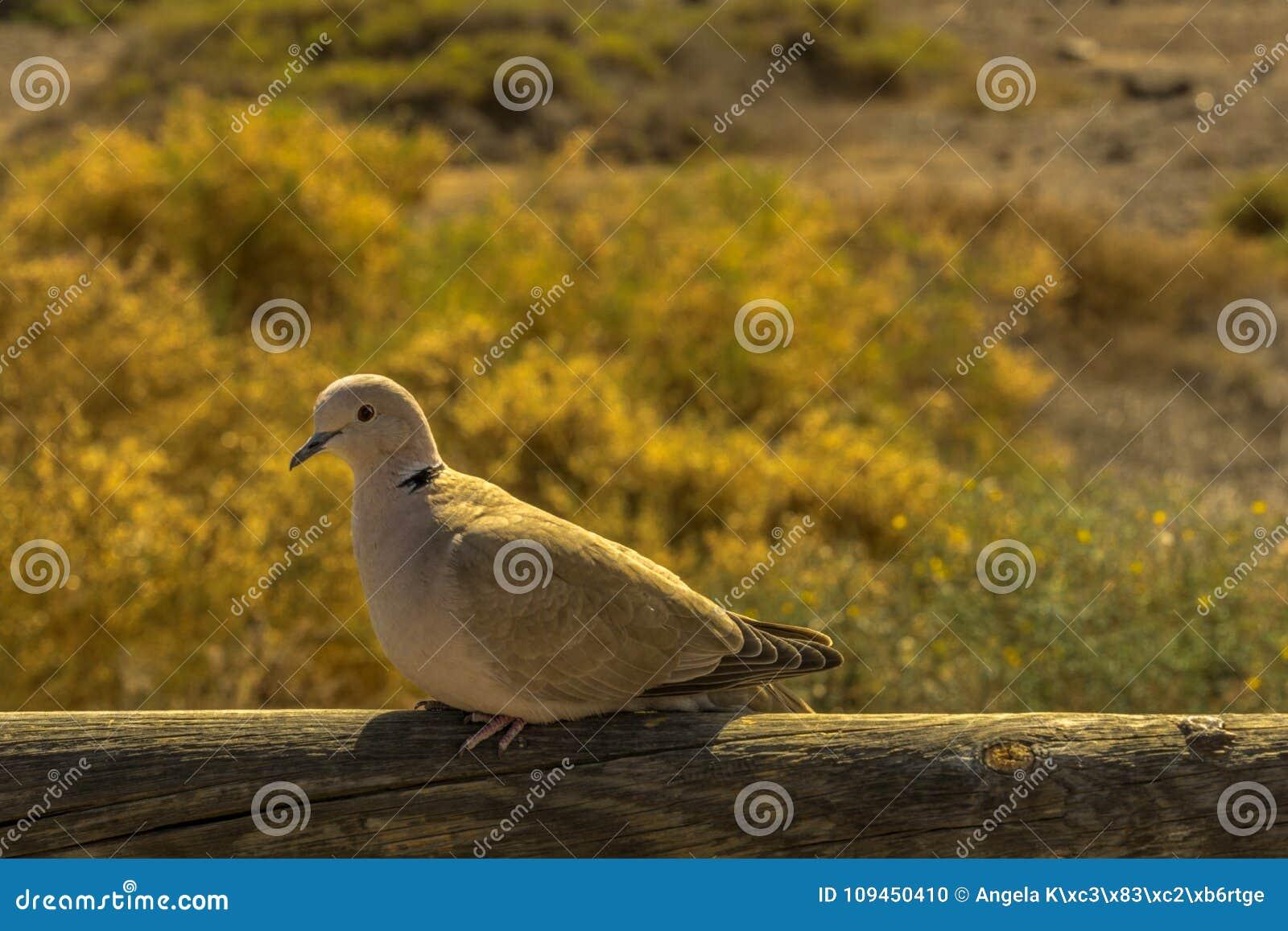 Голубь сидит на деревянном обнести солнечность