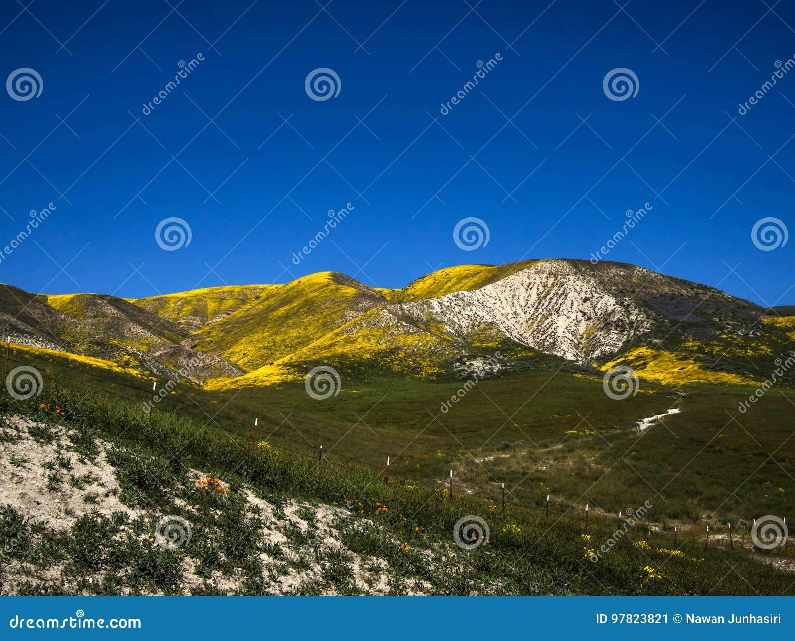 Гора предусматриванная с полем одичалого желтого цветка зацветая