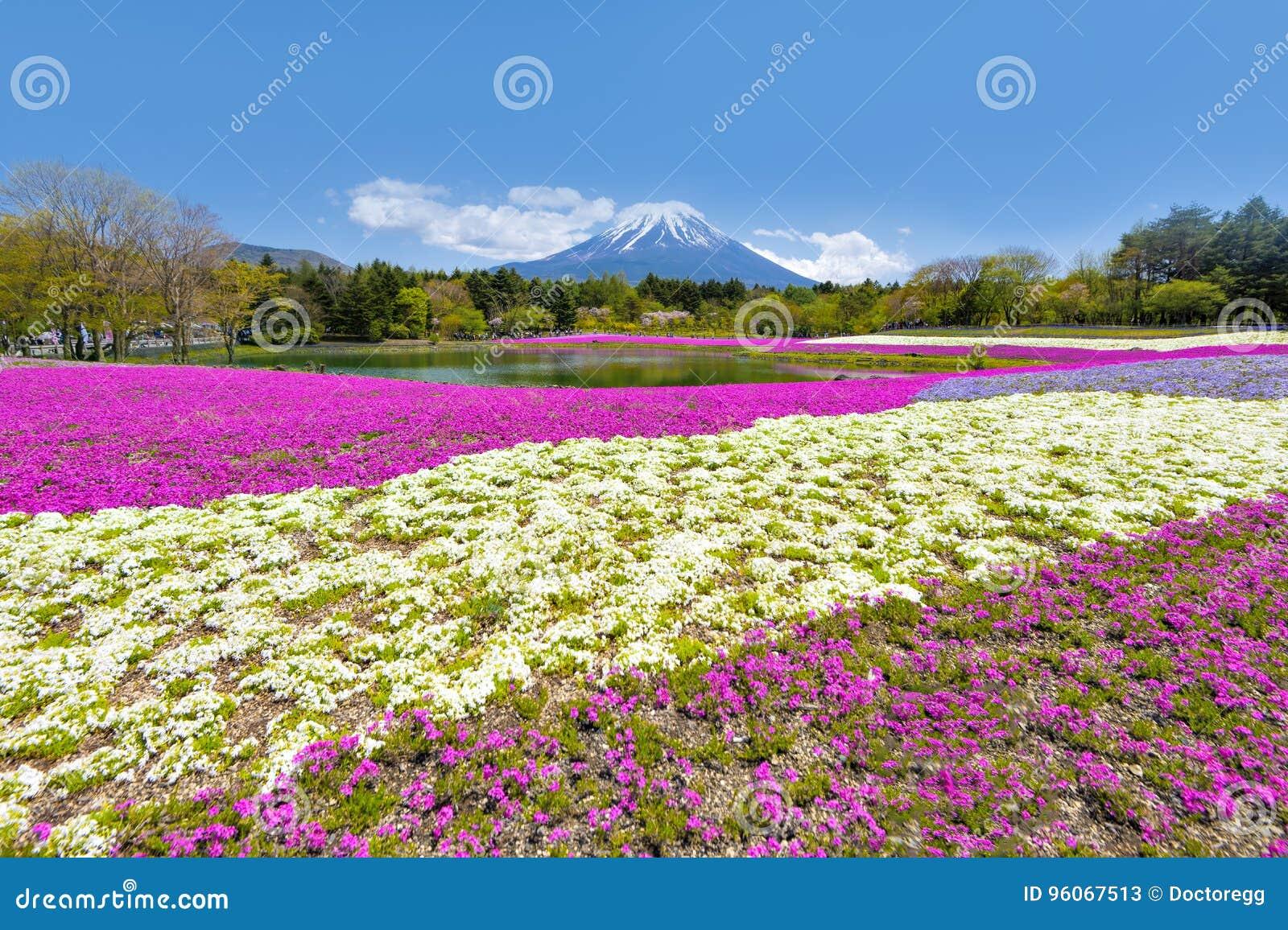 Гора Фудзи и фестиваль сада Shibazakura пинка в солнечном дне на Shizuoka