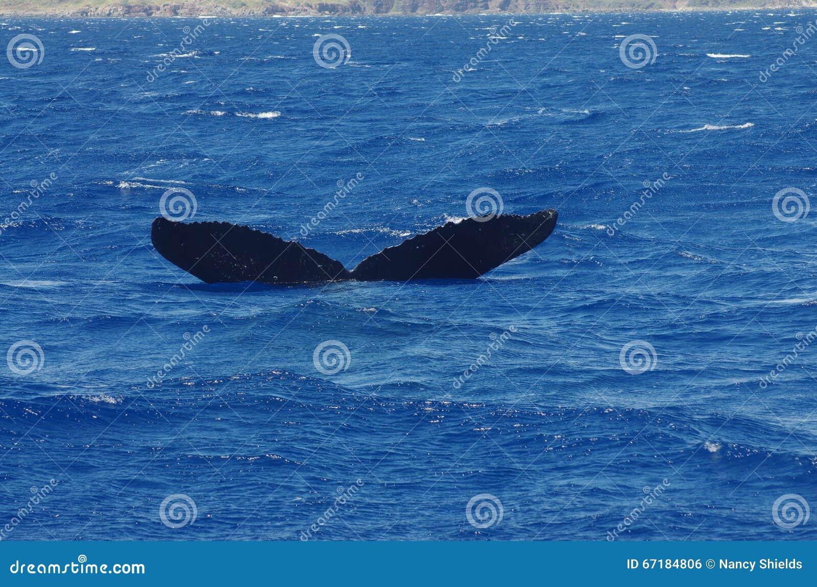 Горбатый кит около Мауи