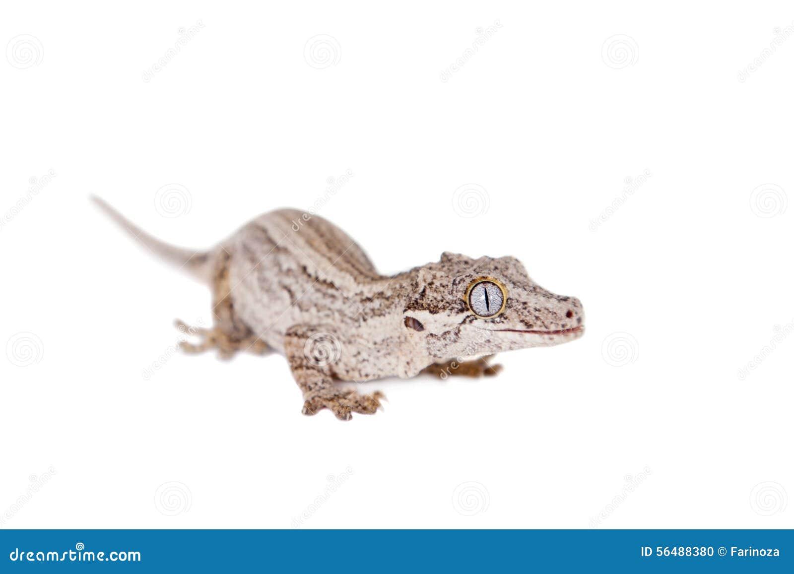 Горгулья, новые шотландские ухабистые гекконовые на белизне