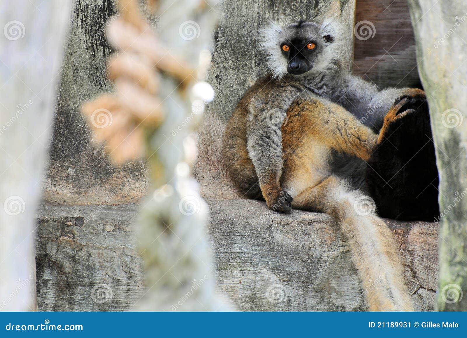 горизонтальный lemur