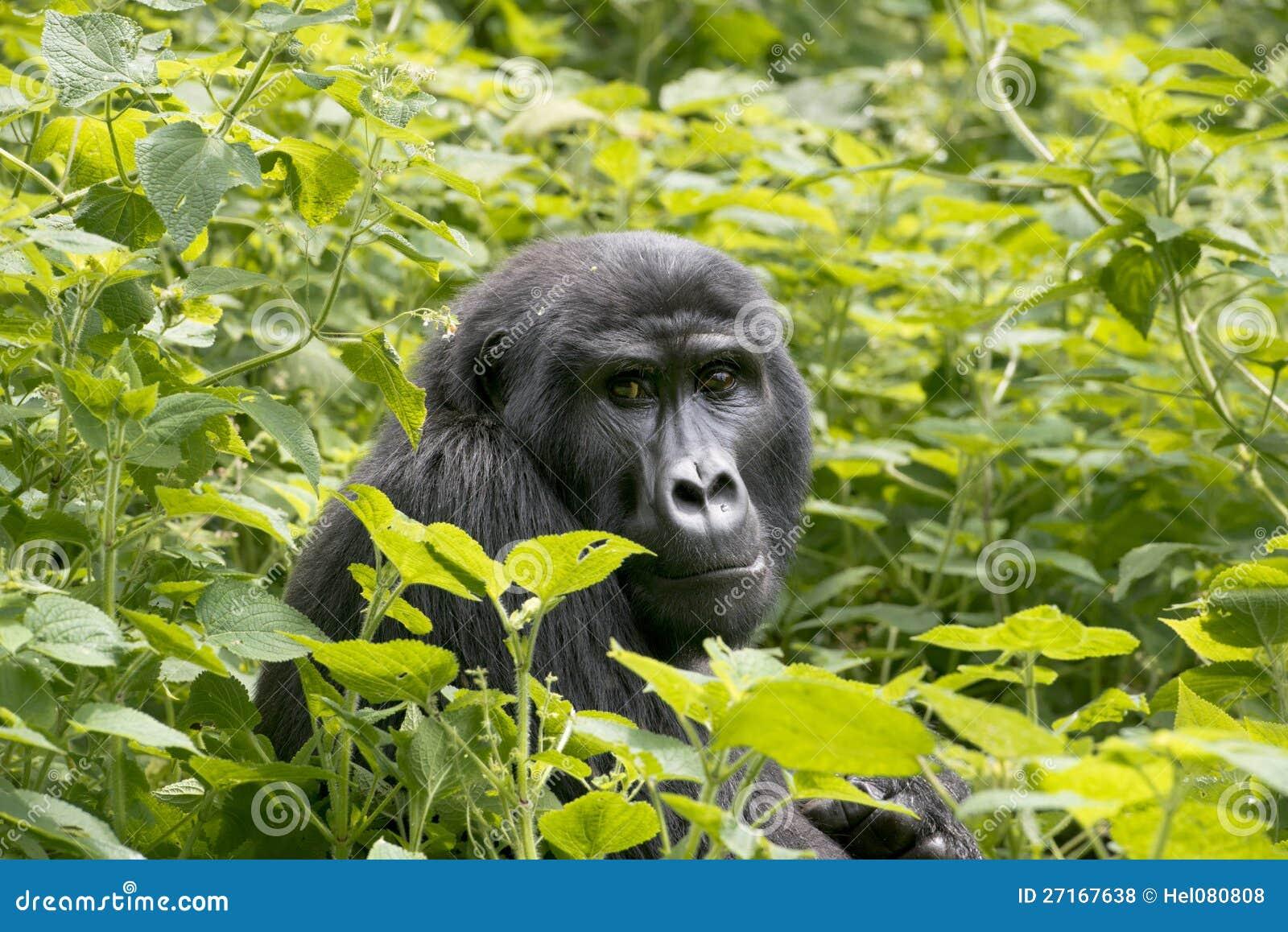 Горилла в дождевом лесе - джунгли - Уганды