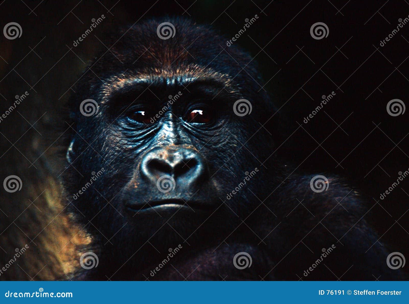 горилла младенца