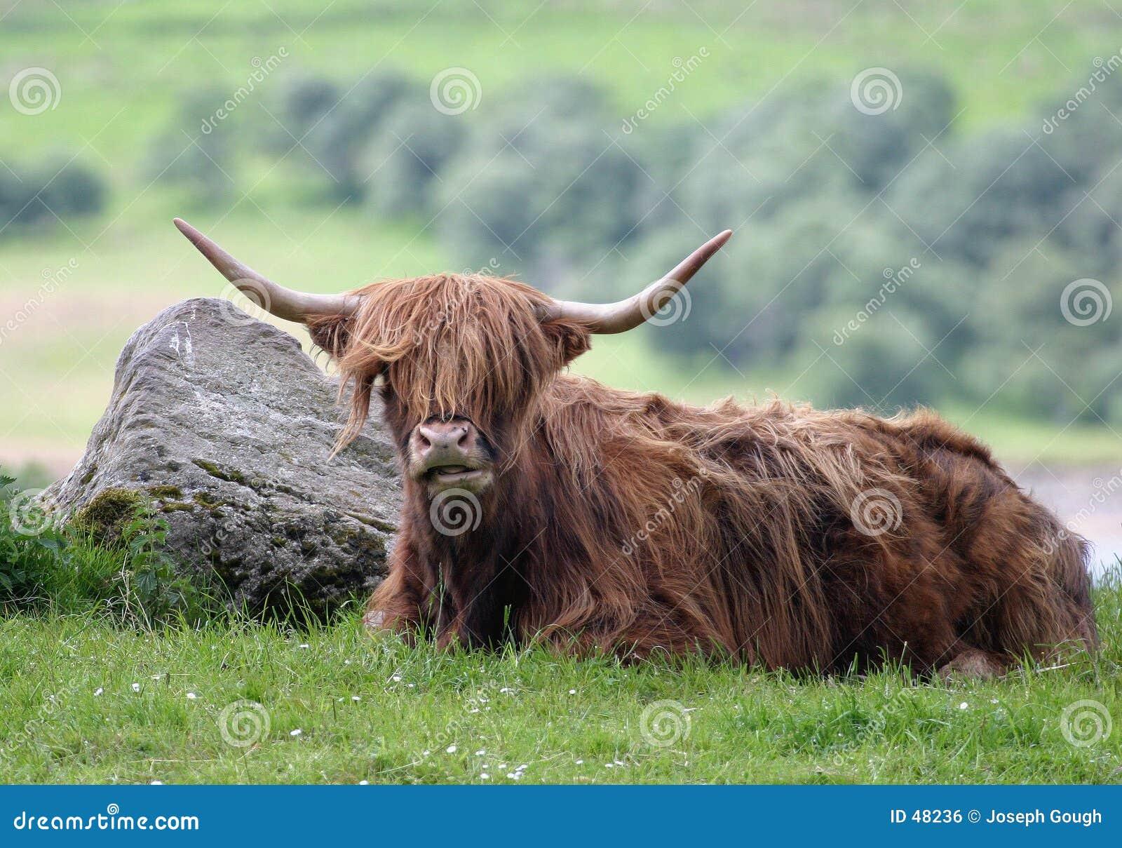 гористая местность быка