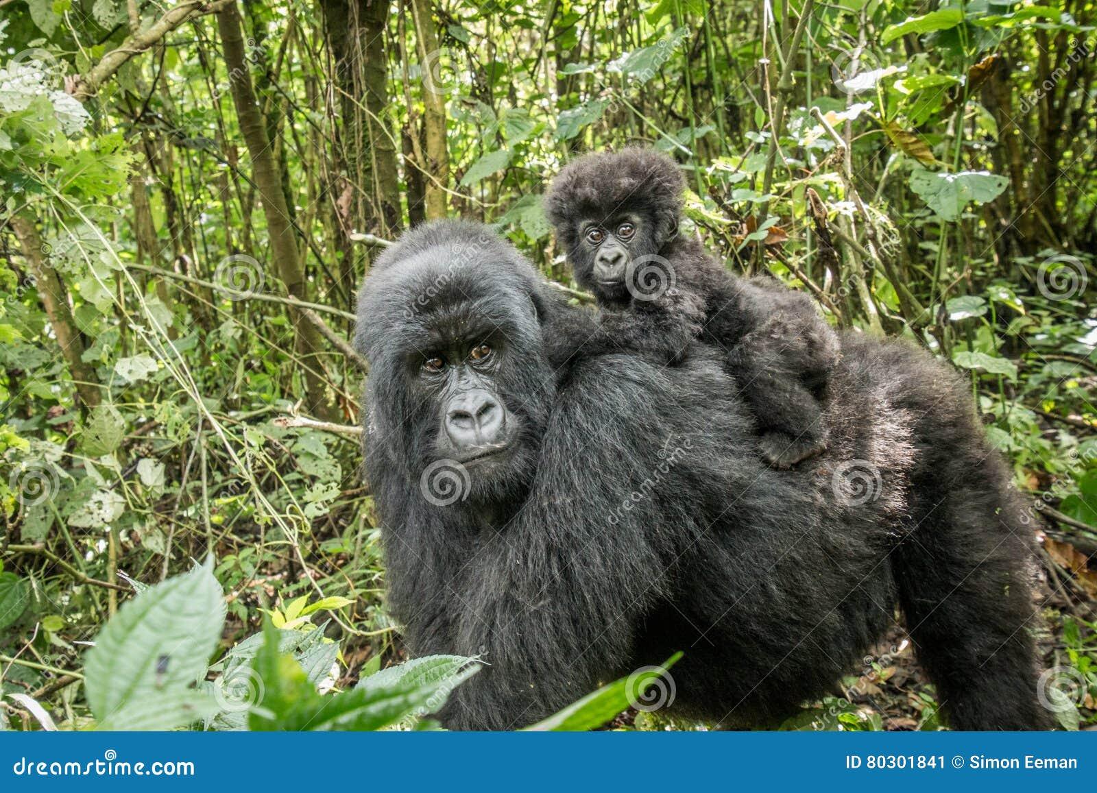 Горилла горы младенца сидя на его матери