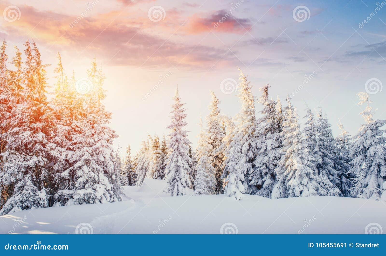 Горы загадочного ландшафта зимы величественные в зиме Волшебный снег зимы покрыл дерево драматическое место прикарпатско