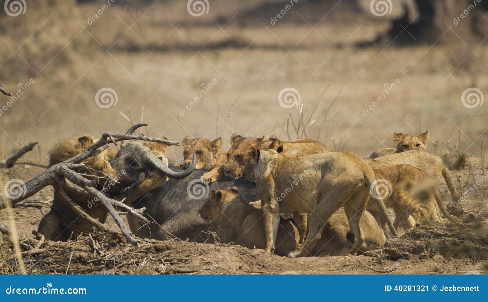 Гордость льва убивая африканский буйвола
