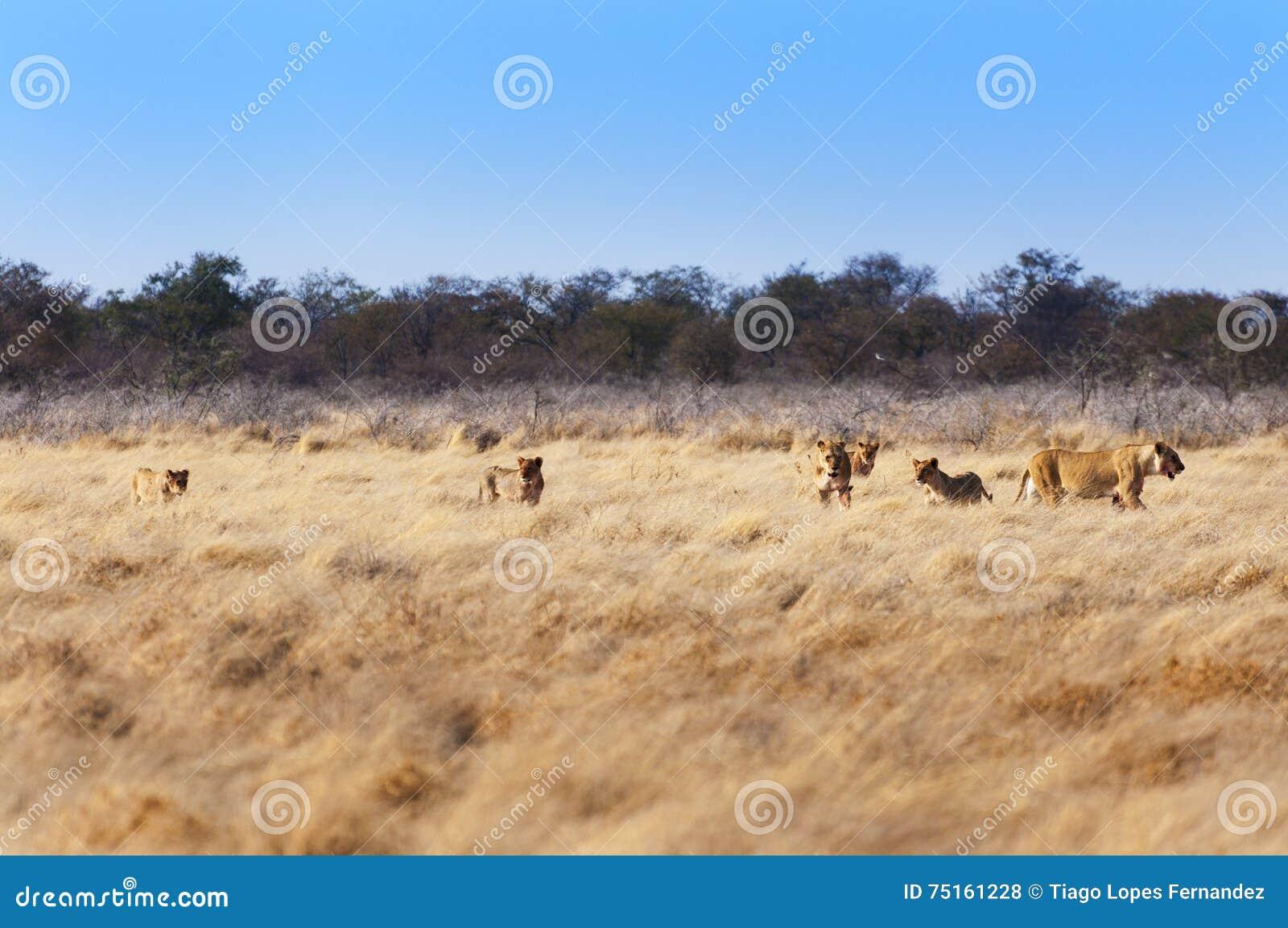 Гордость львов в саванне, в Намибии