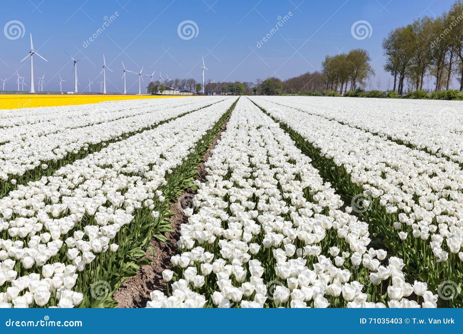 Голландские поля с белыми тюльпанами и ветротурбинами