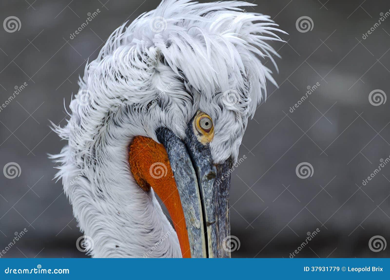 Голова пеликана