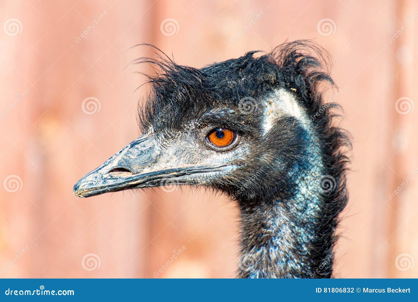 Голова птицы 2 эму