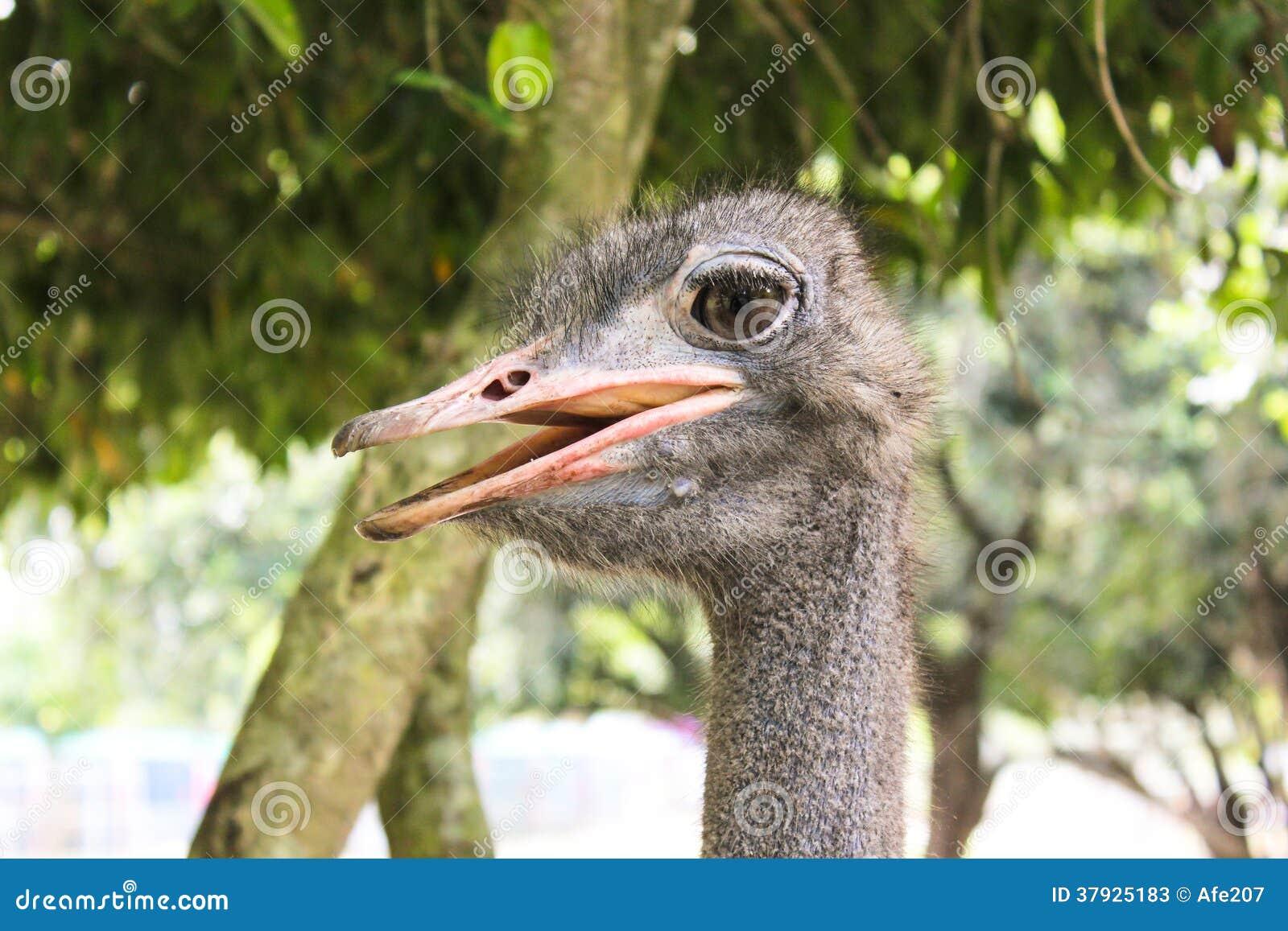 Голова страуса портрета конца-вверх