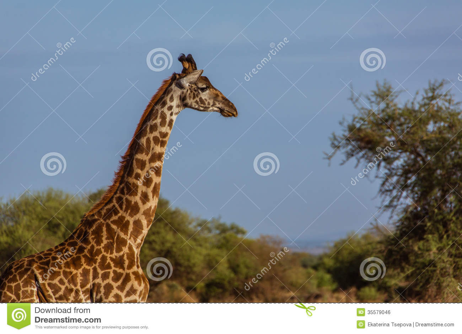 Голова affrican жирафа