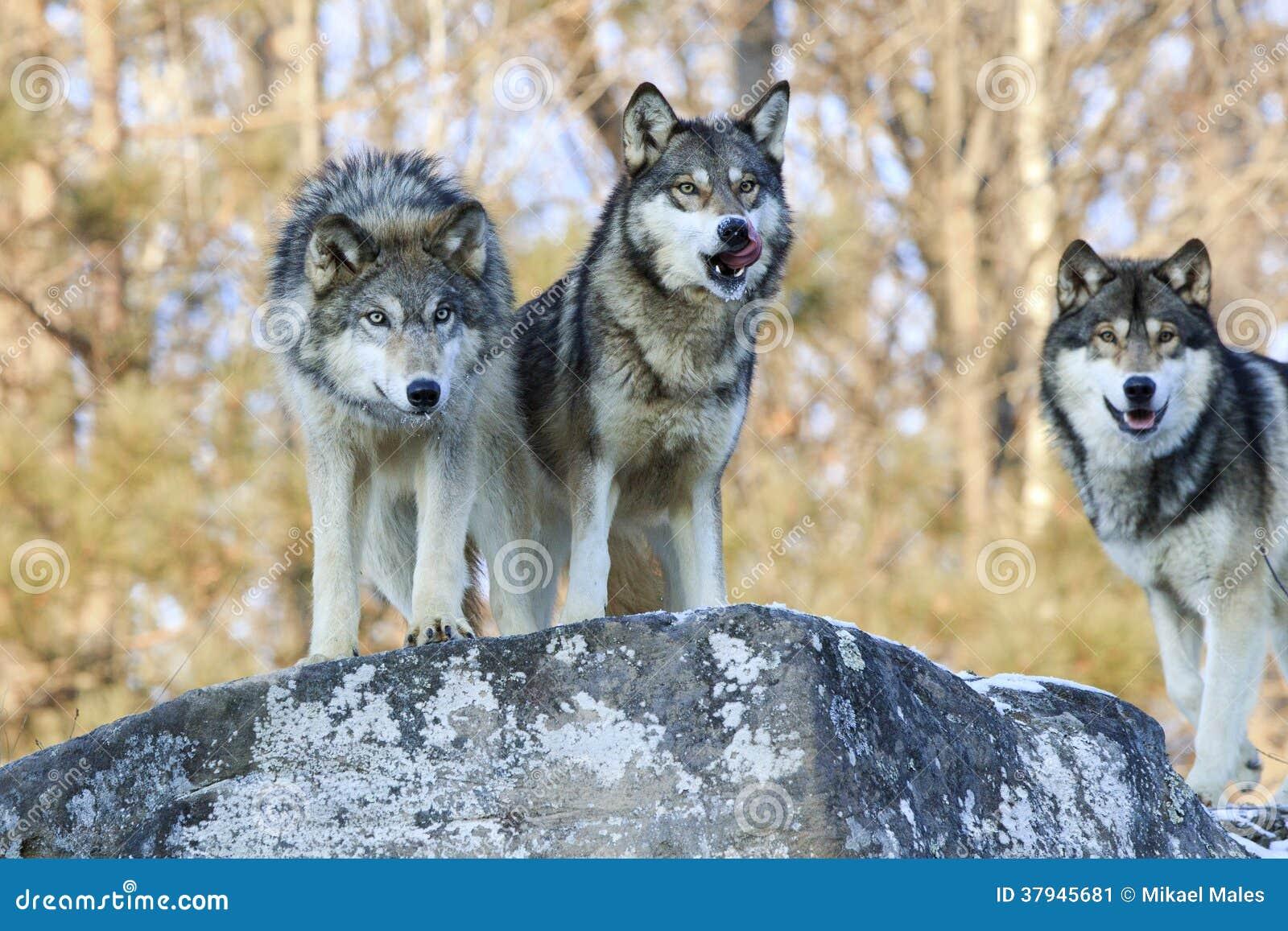 следовать инструкциям с голодной волчицей выходит на дорогу этого: понимаю, что