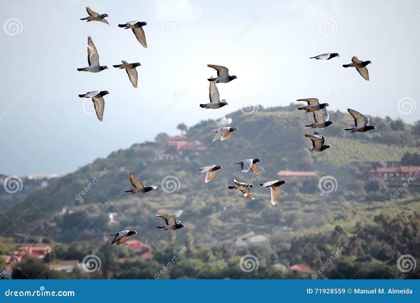 Голуби на лету