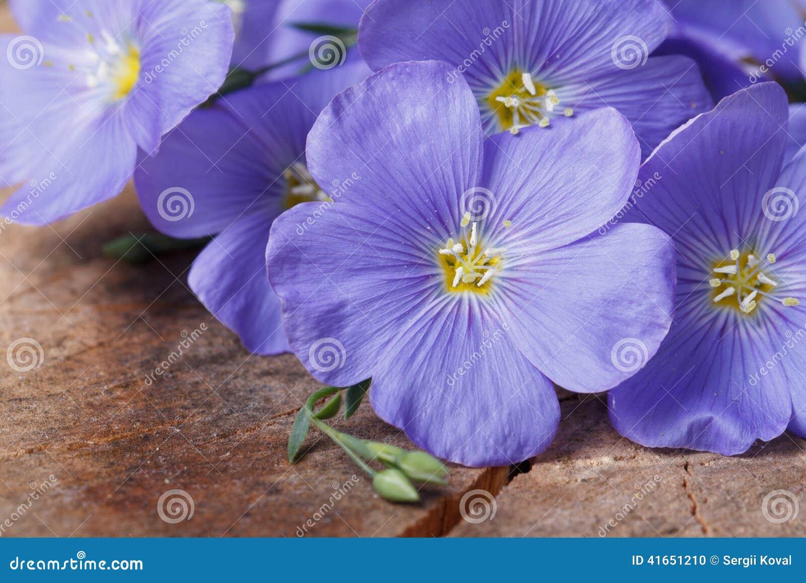 Голубой лен цветет макрос на старой деревянной доске