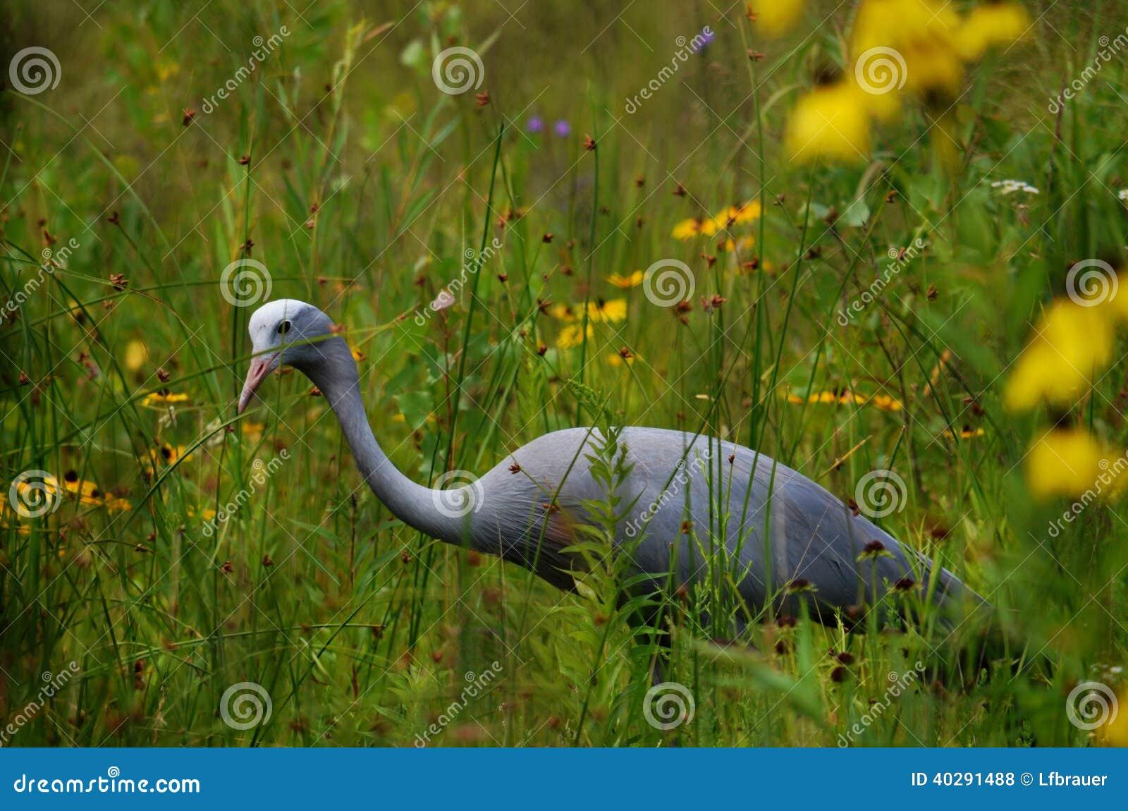 Голубой кран (paradiseus Anthropoides)