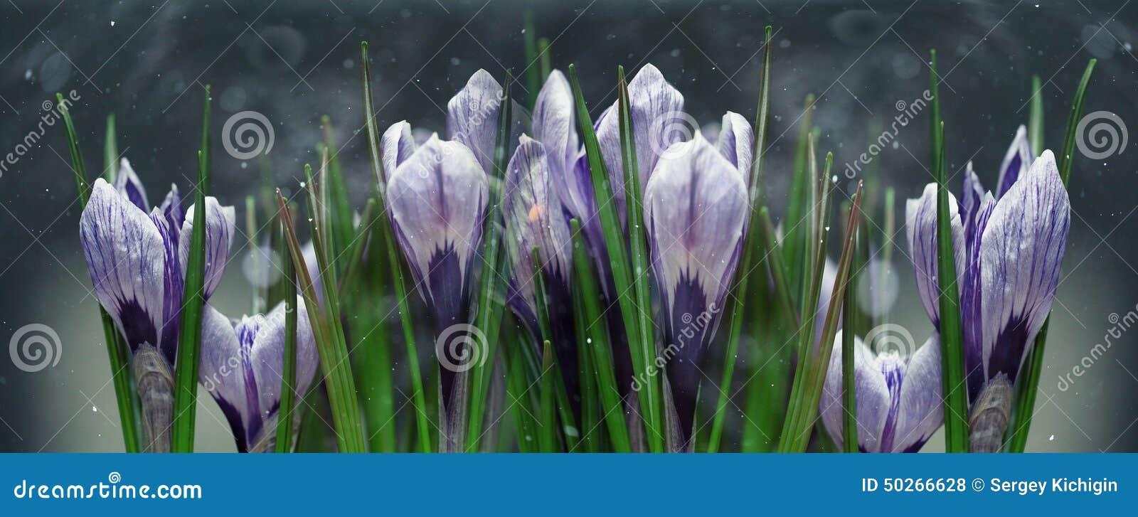 Голубой крокус цветет весна