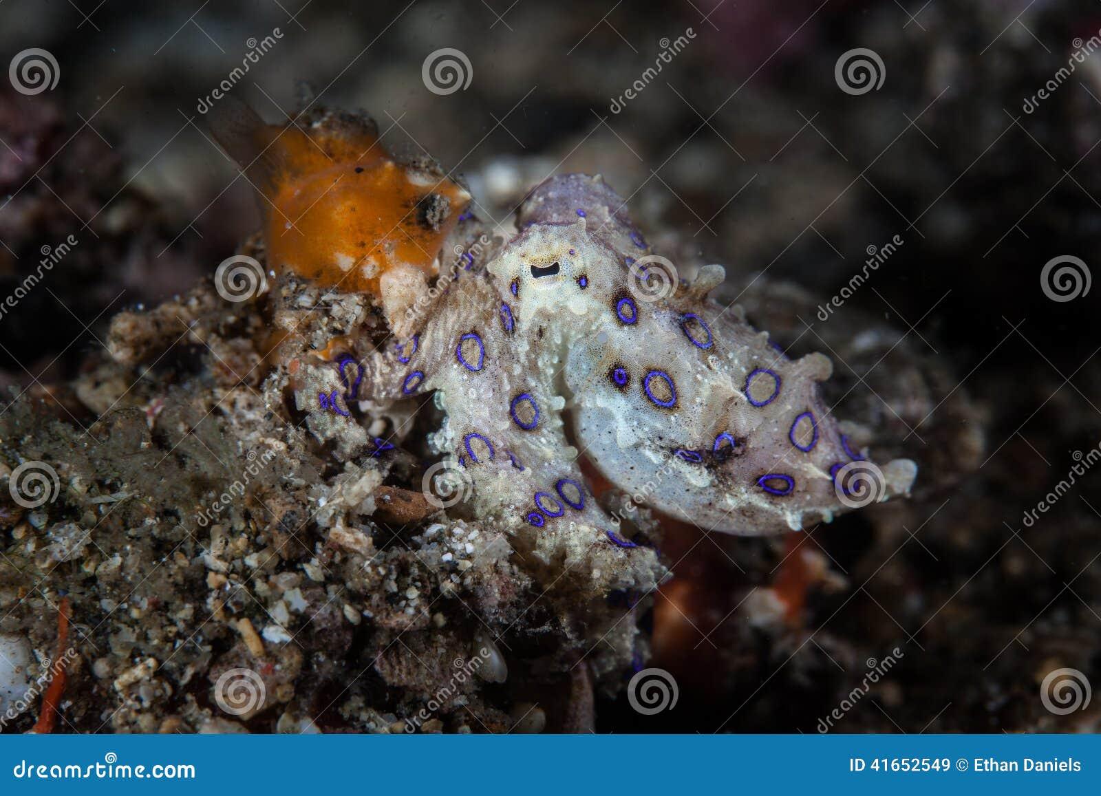 Голубой осьминог 1 кольца