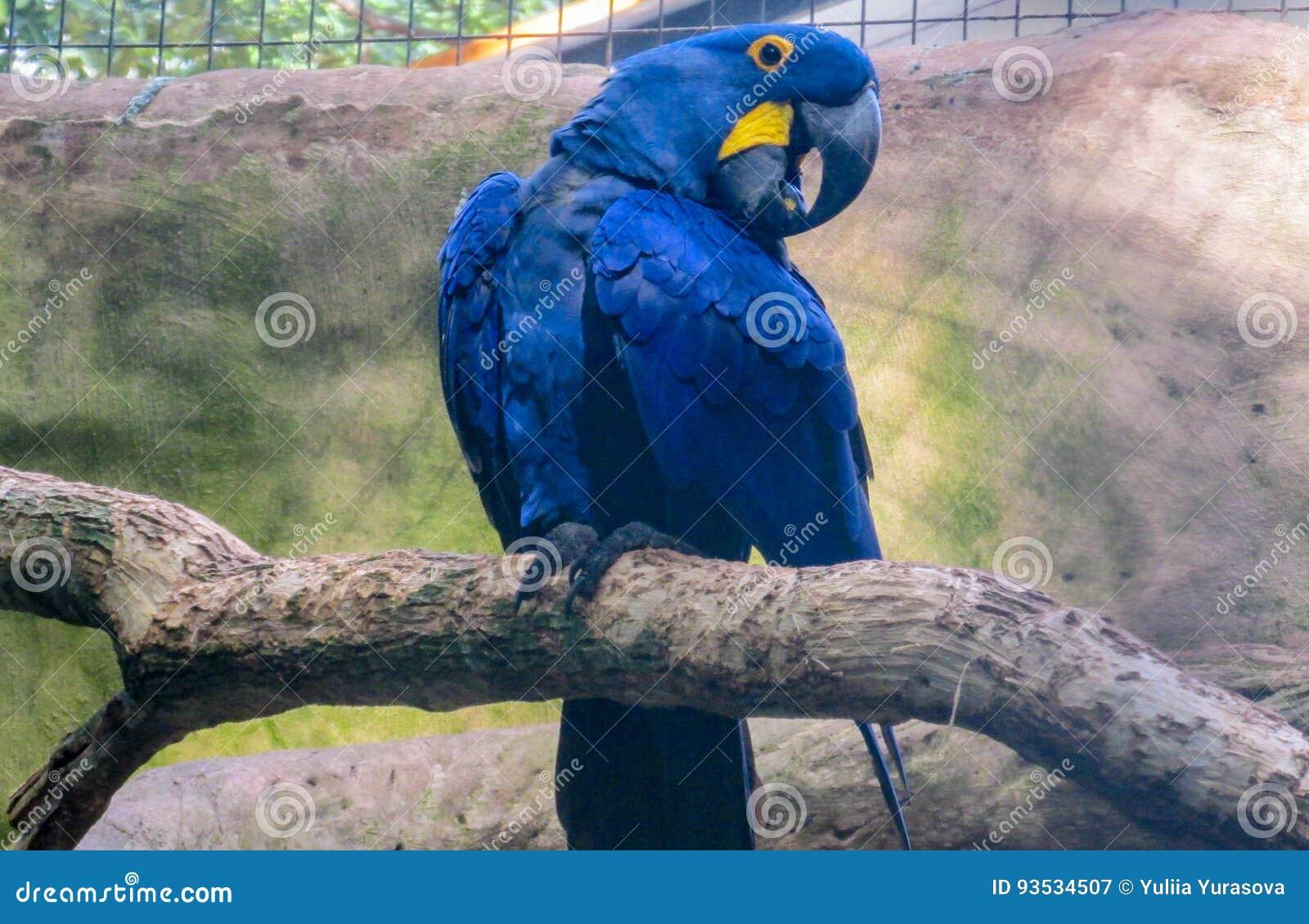голубой попыгай macaw