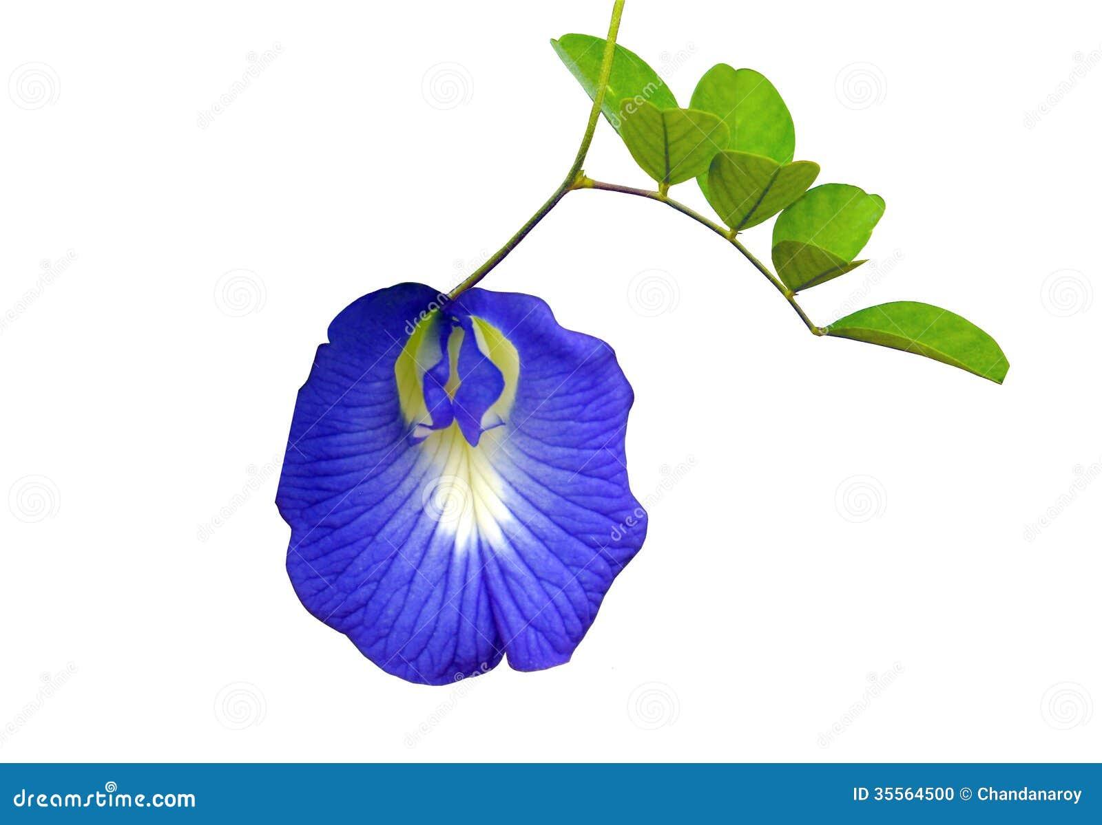 Голубой цветок гороха бабочки или голубого гороха изолированных на белой предпосылке