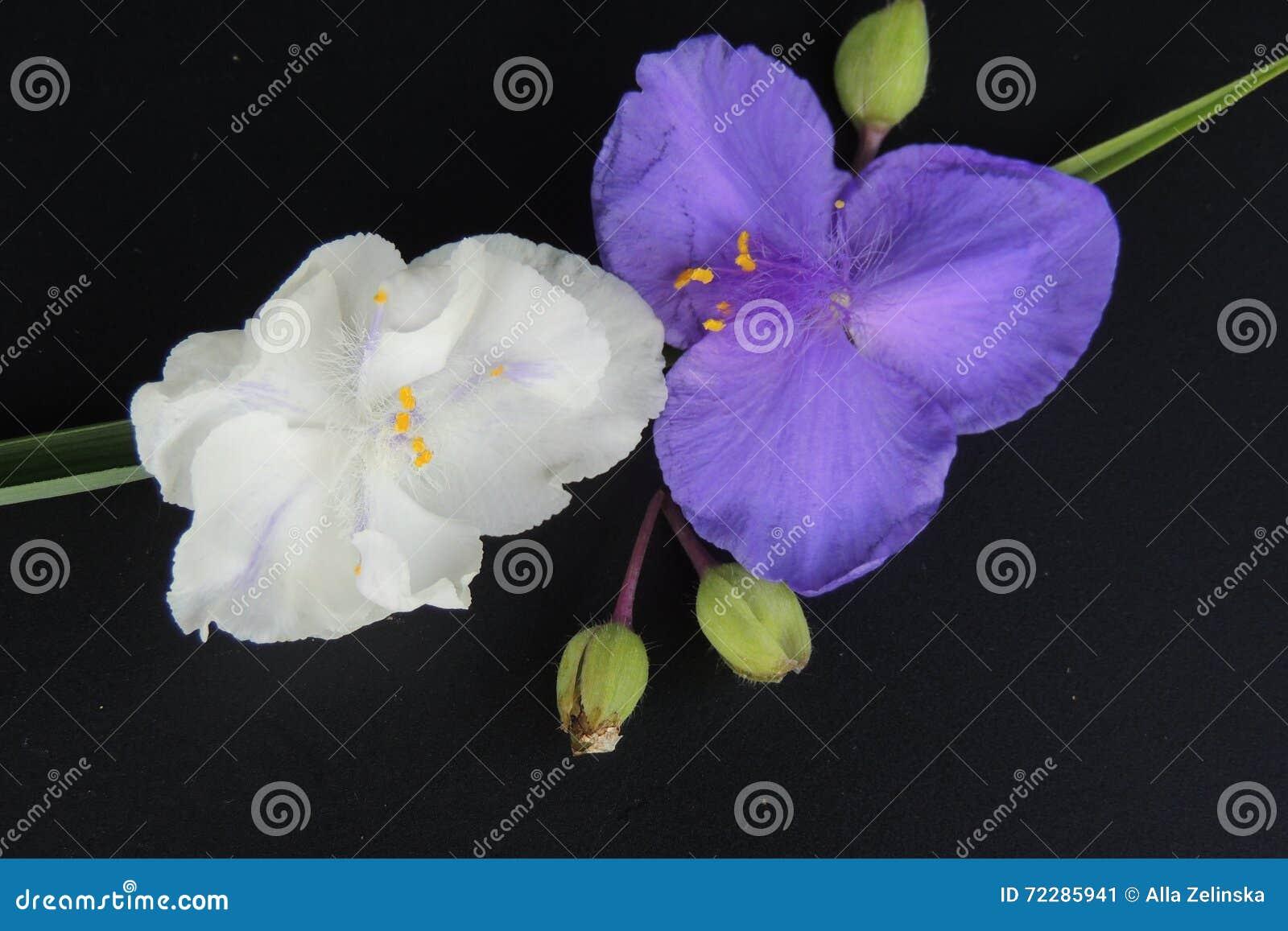 Download Голубые и белые цветки на черной предпосылке Стоковое Изображение - изображение насчитывающей бутика, сделано: 72285941