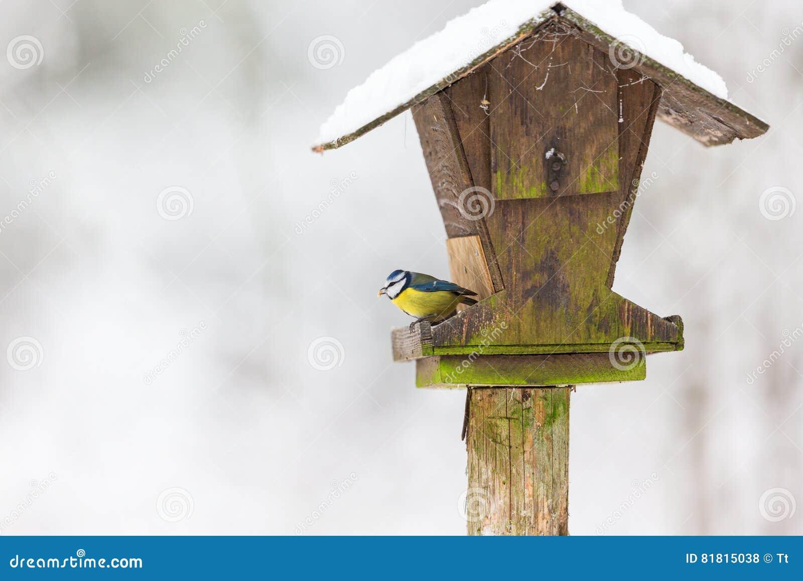 Голубые синицы на доме птицы