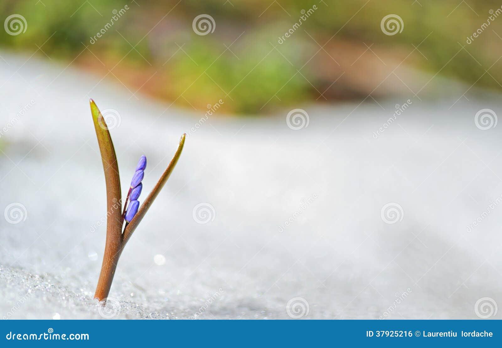 Голубые цветки весны