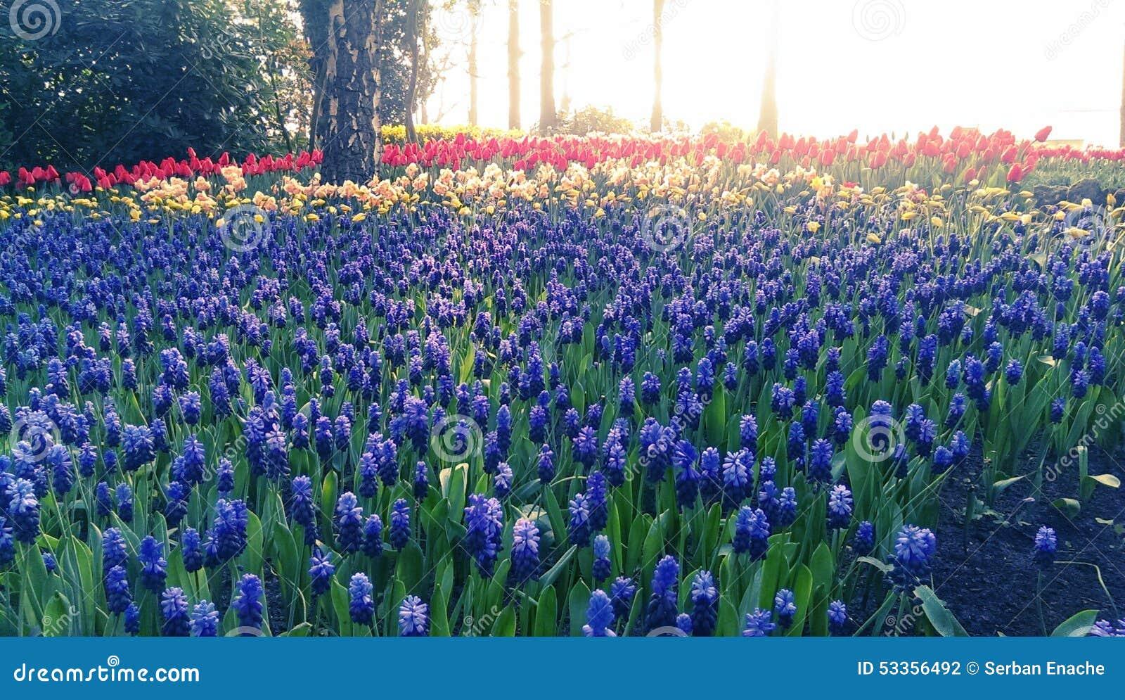 Голубые цветки и тюльпаны muscari