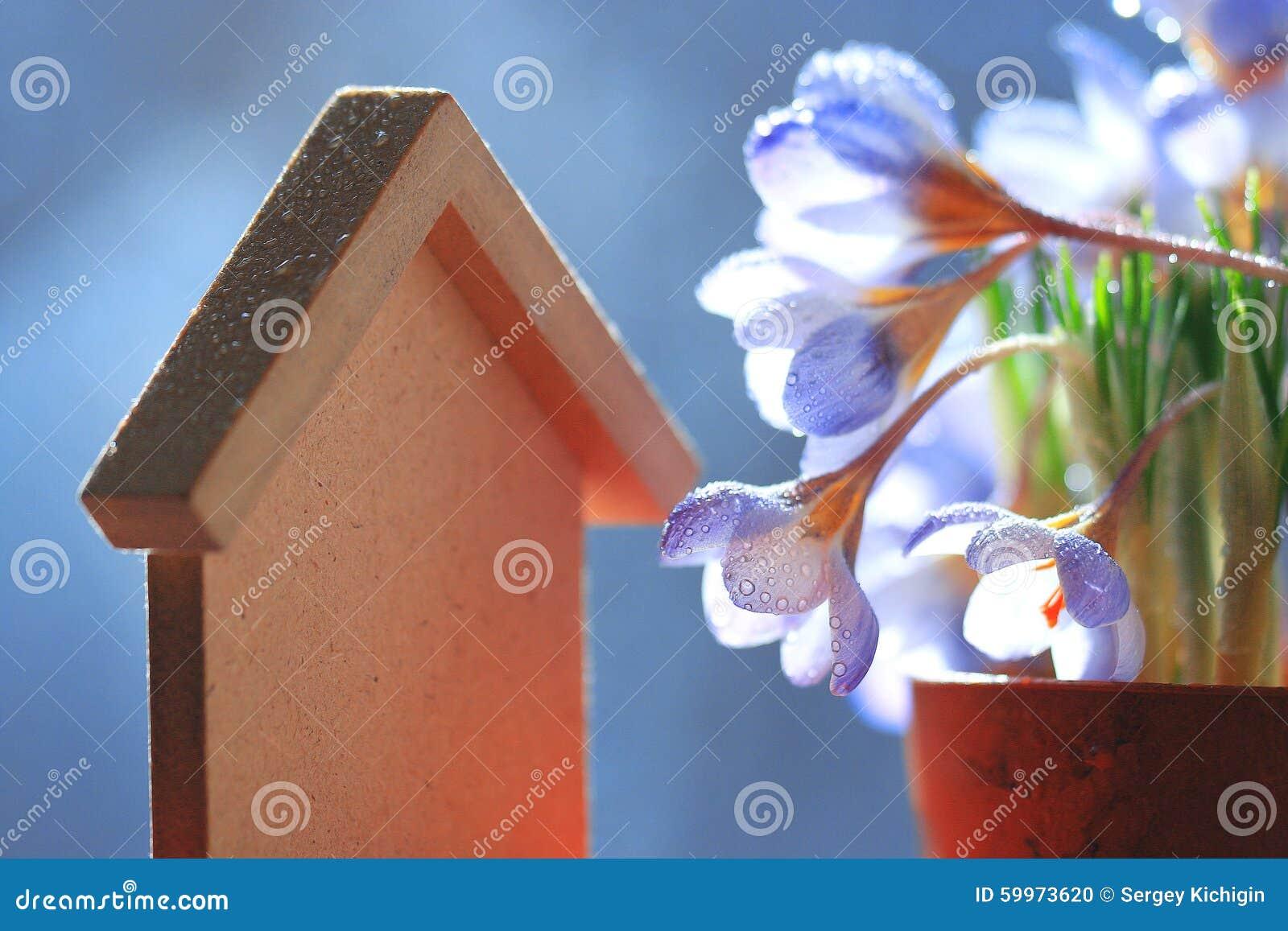 голубые цветки крокуса