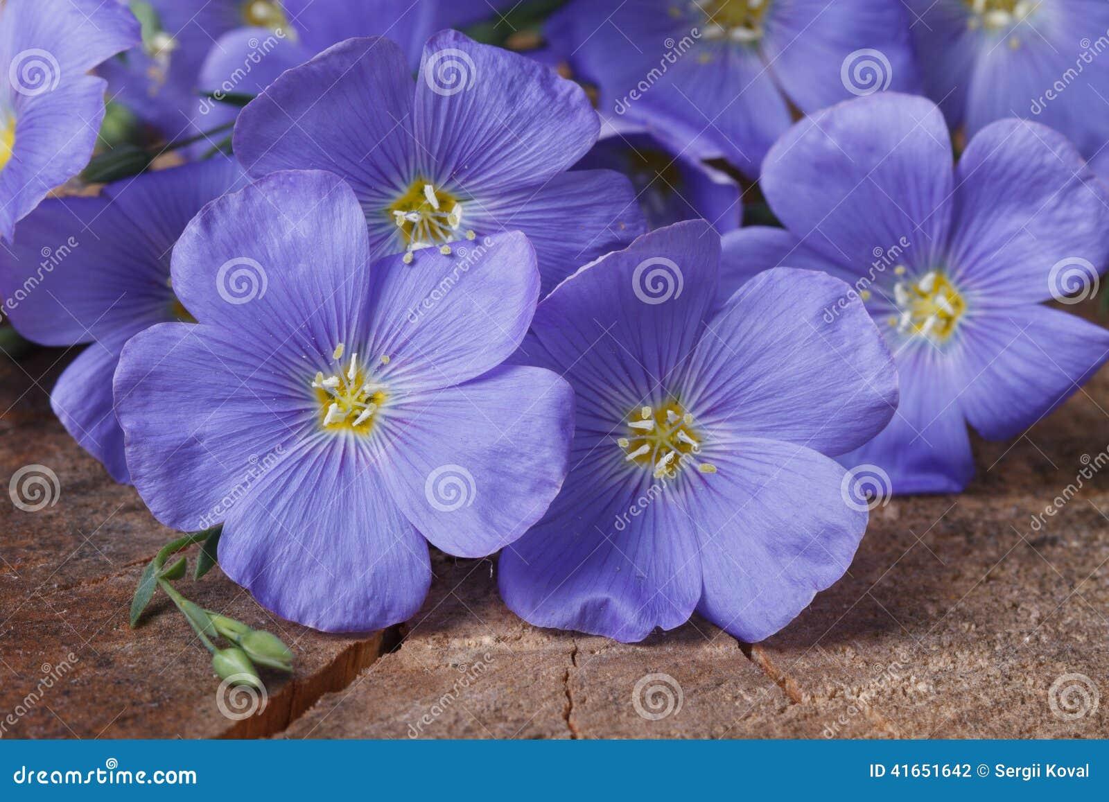 Голубые цветки льна закрывают вверх по горизонтальной