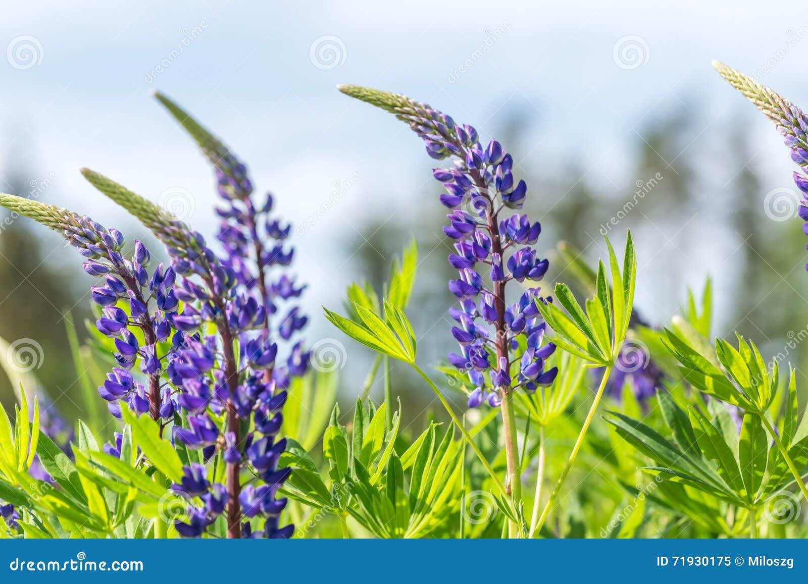 Голубые цветки lupinus
