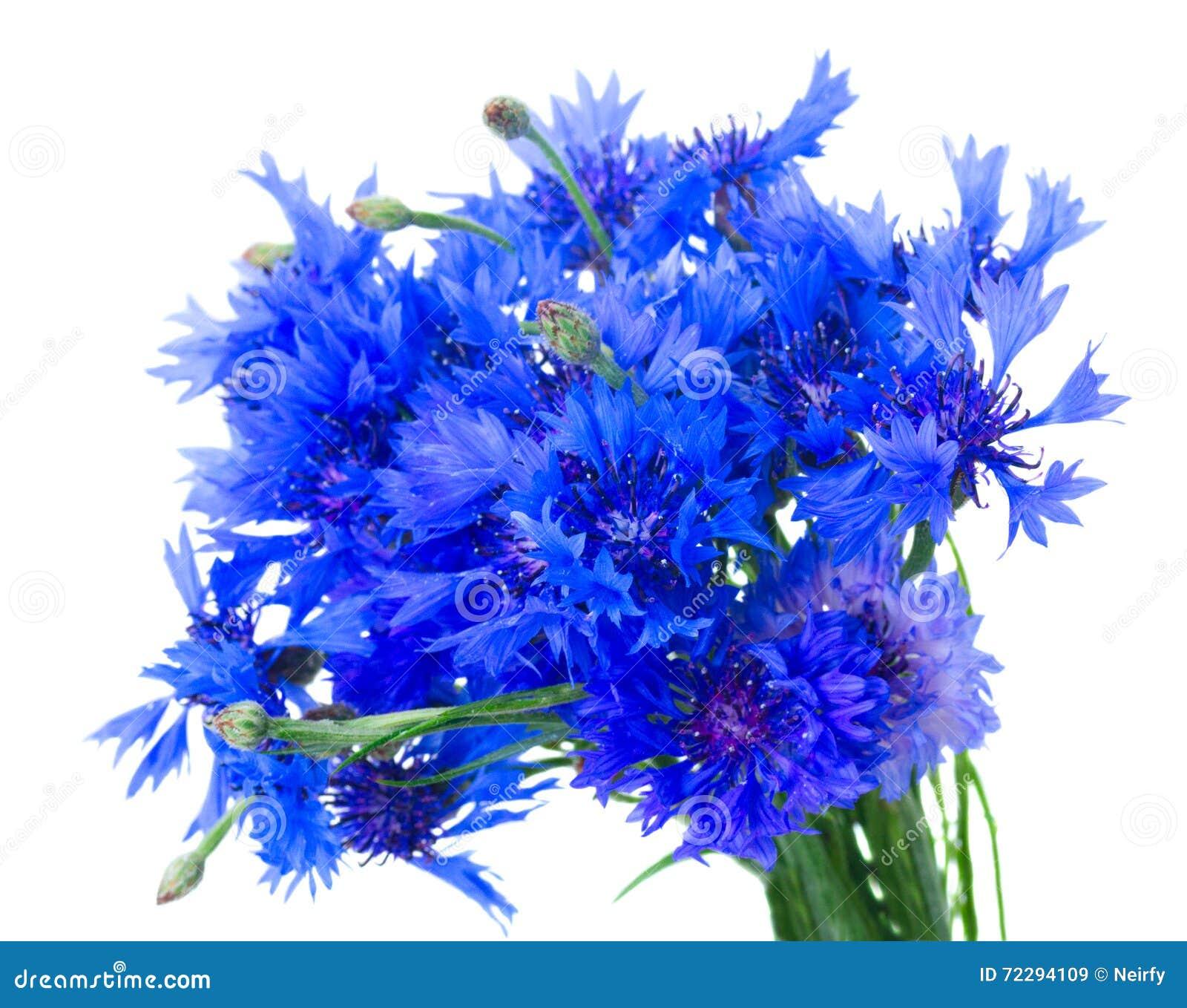 Download Голубые Cornflowers на белизне Стоковое Изображение - изображение насчитывающей brampton, головка: 72294109