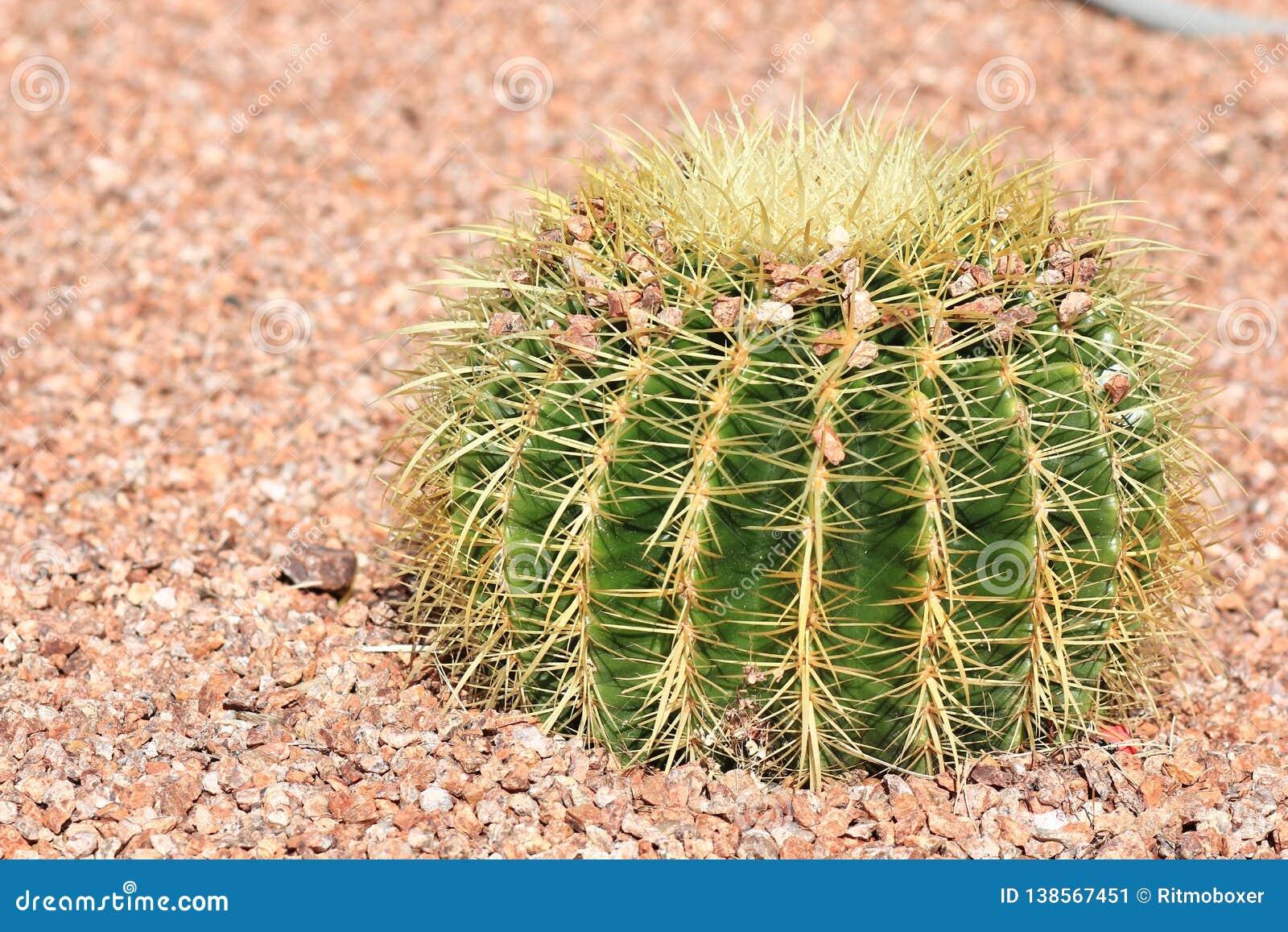 Гравий пустыни благоустраивая с кактусом золотого бочонка