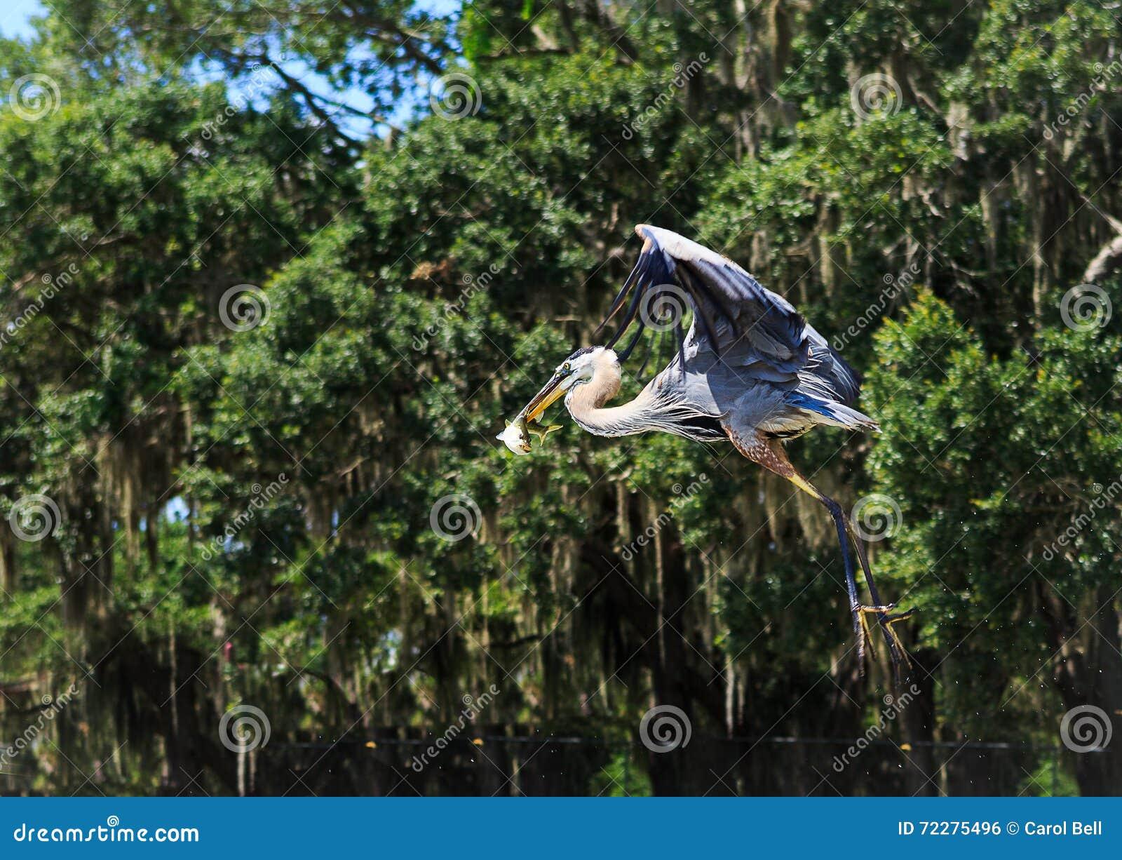 Download Грандиозная цапля ослабляя на озере свежей воды в Оксфорде FL Стоковое Фото - изображение насчитывающей цапля, серо: 72275496