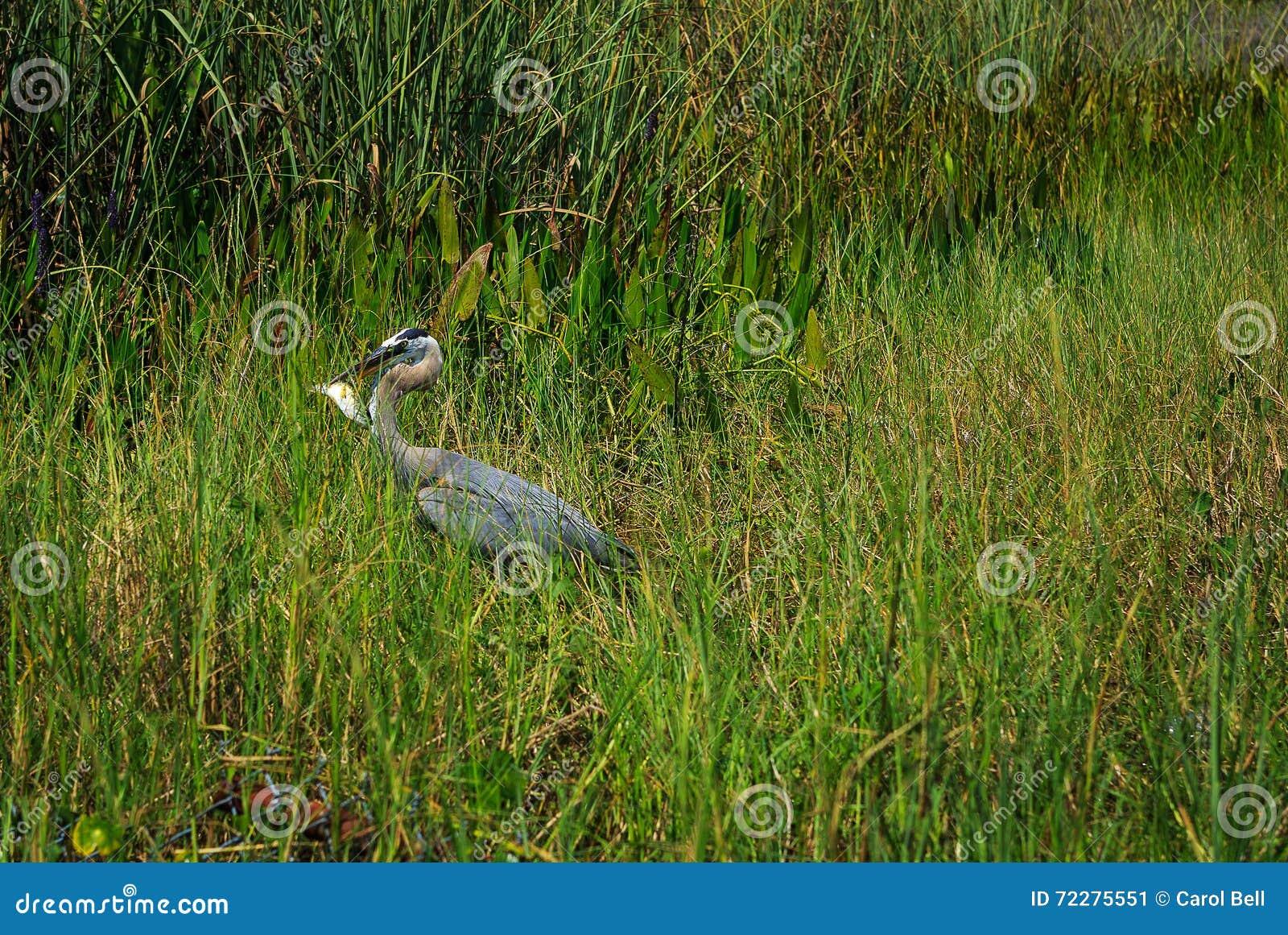 Download Грандиозная цапля ослабляя на озере свежей воды в Оксфорде FL Стоковое Изображение - изображение насчитывающей wildlife, больш: 72275551