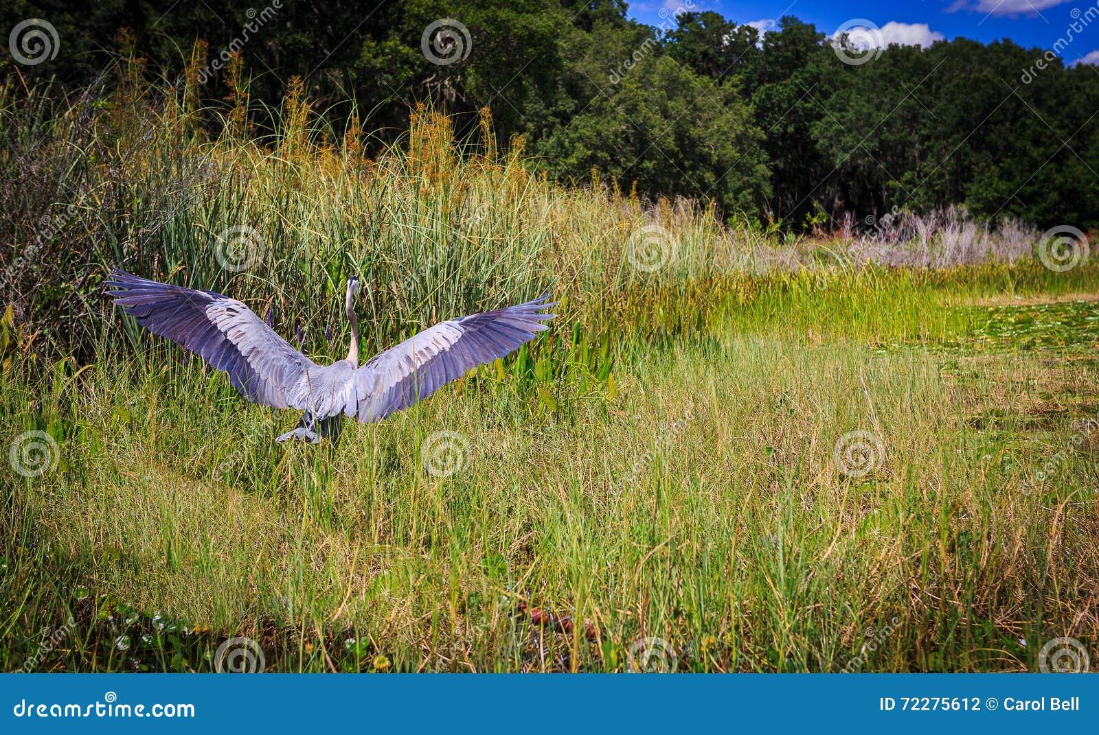 Download Грандиозная цапля ослабляя на озере свежей воды в Оксфорде FL Стоковое Фото - изображение насчитывающей река, wildlife: 72275612