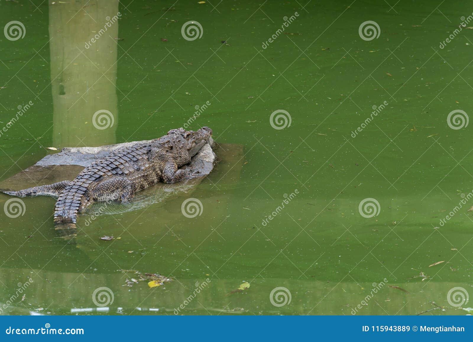 Грейтесь в siamensis солнечност-крокодил-крокодила
