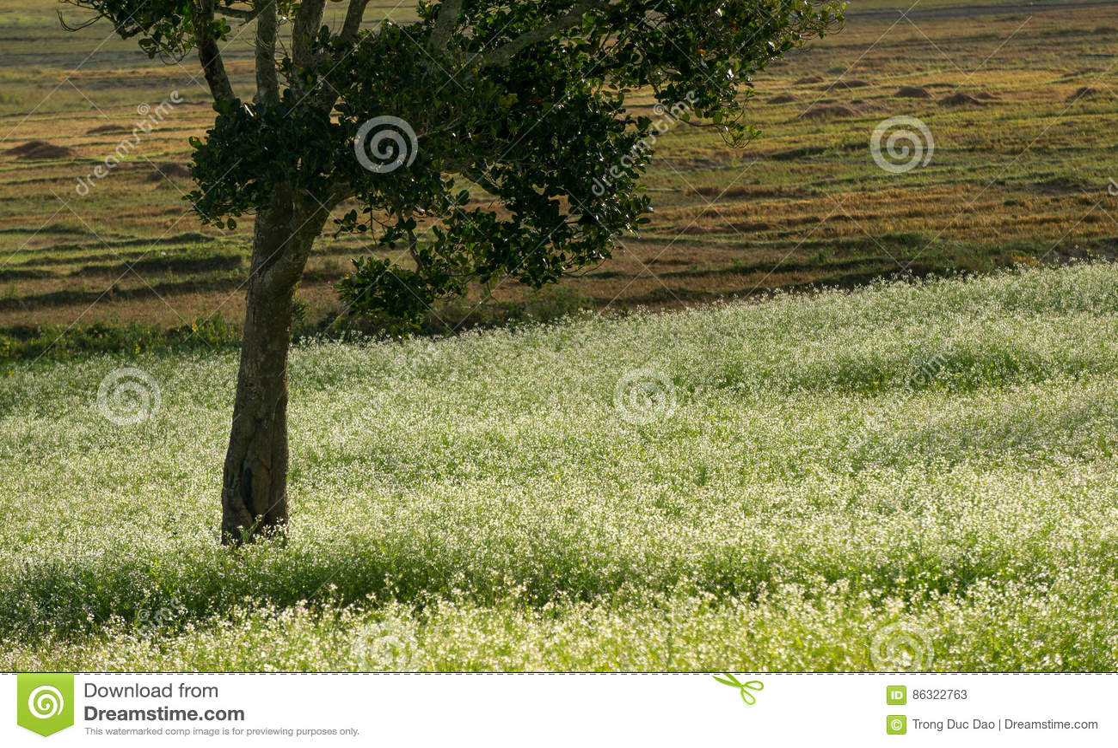 грейте на солнце и поле мустарда с белым цветком в DonDuong - Dalat- Вьетнаме