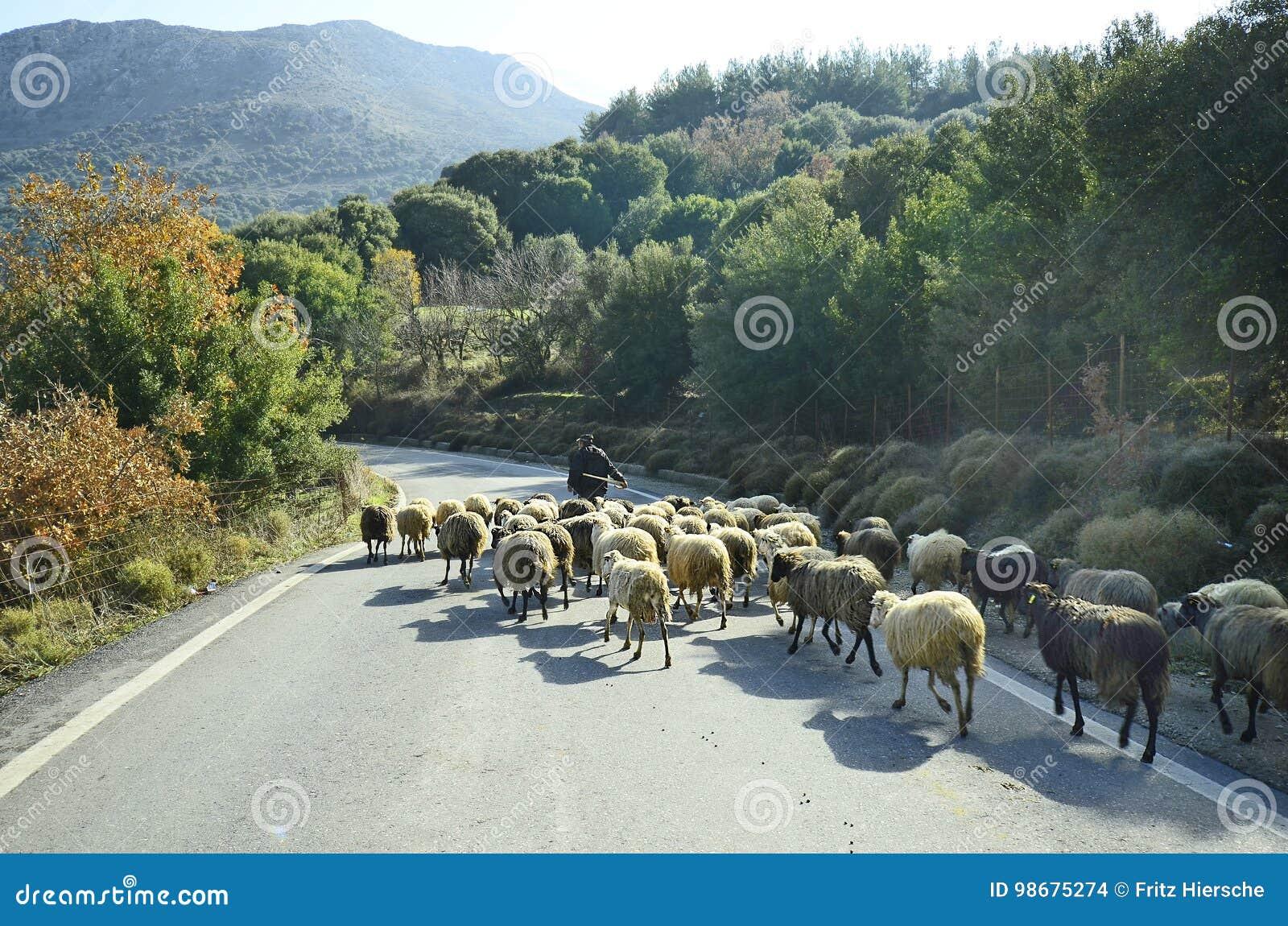 Греция, Крит, овцы