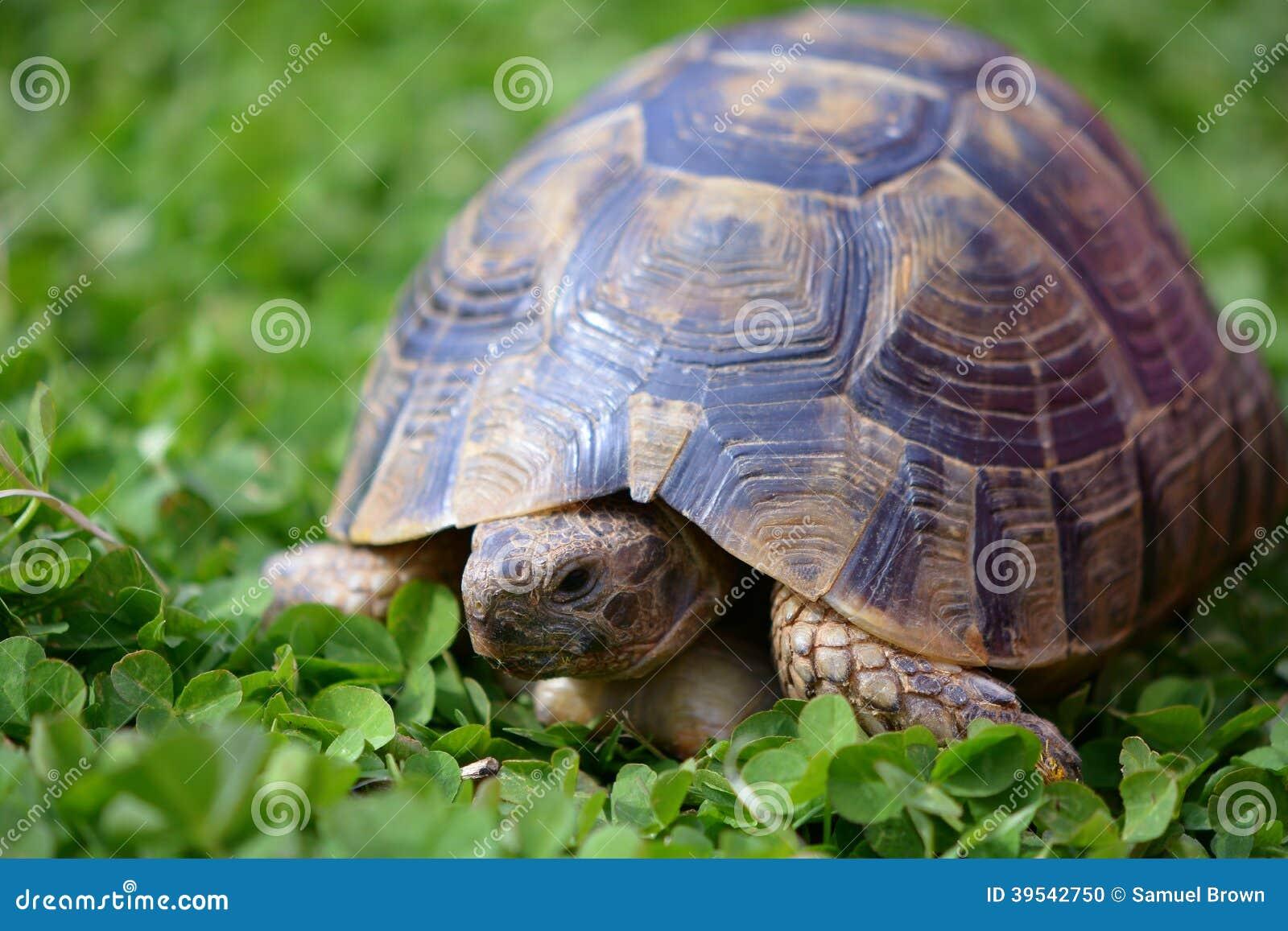 Греческая черепаха в клевере