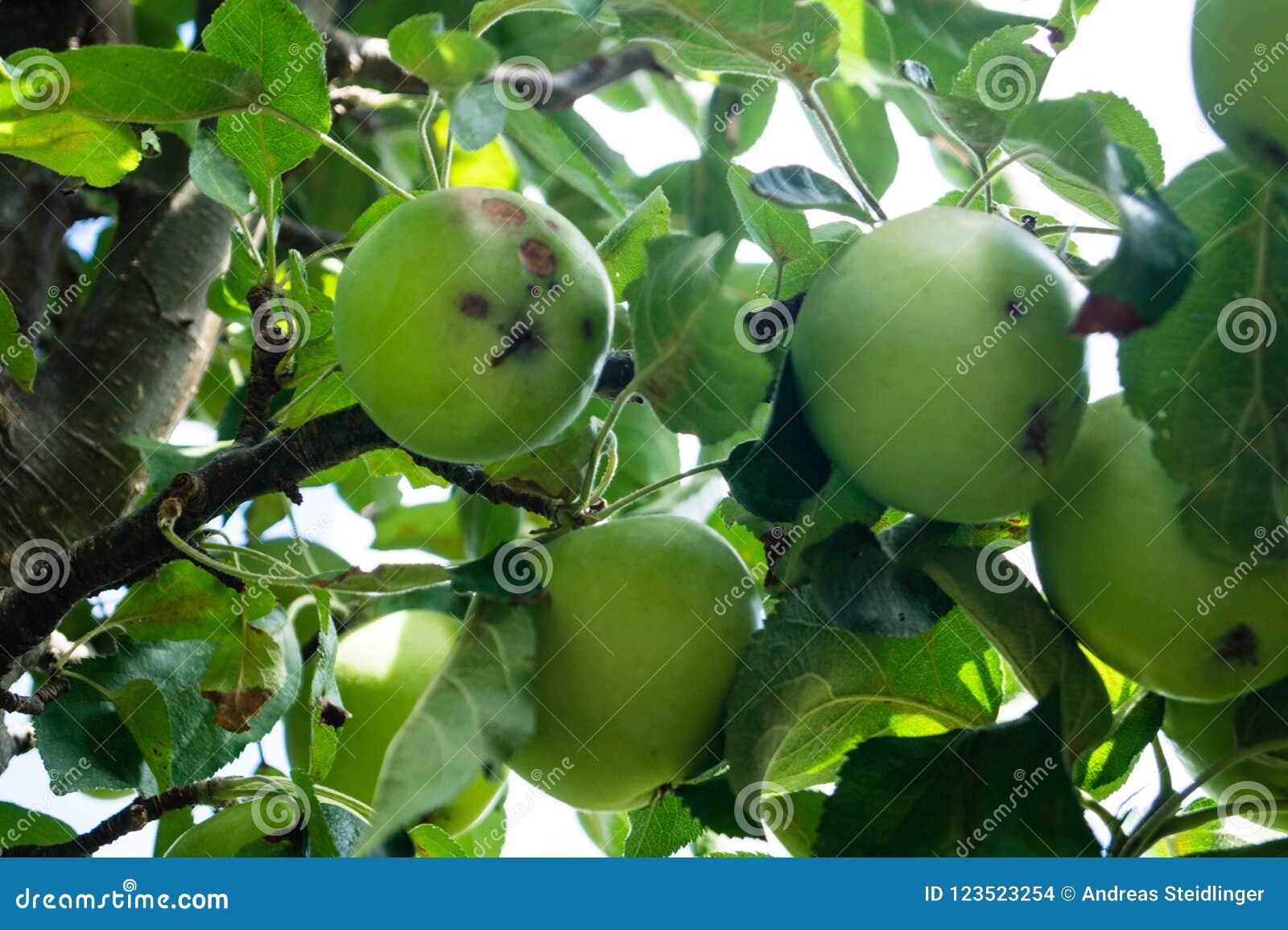 Грибковая инфекция яблок